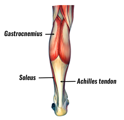 The anatomy of the soleus muscle, the soleus is hidden under the larger gastrocnemius