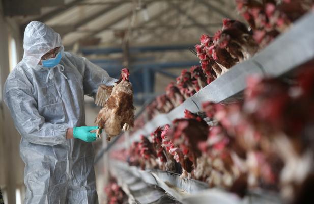 H7N9_Chicken.jpg