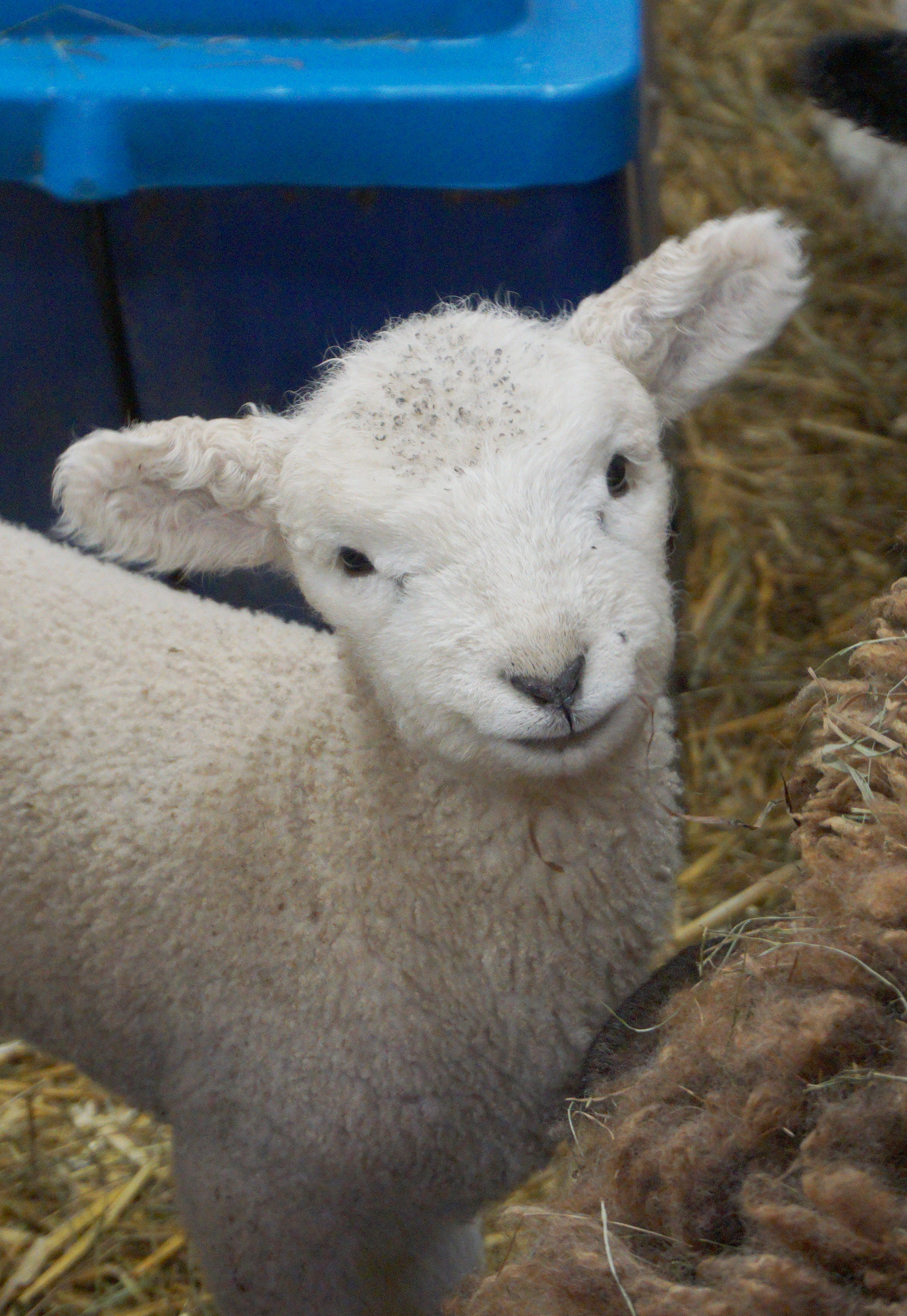 lamb1.jpg