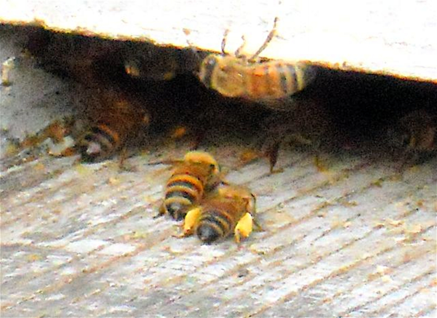 Example bees packing pollen.jpg