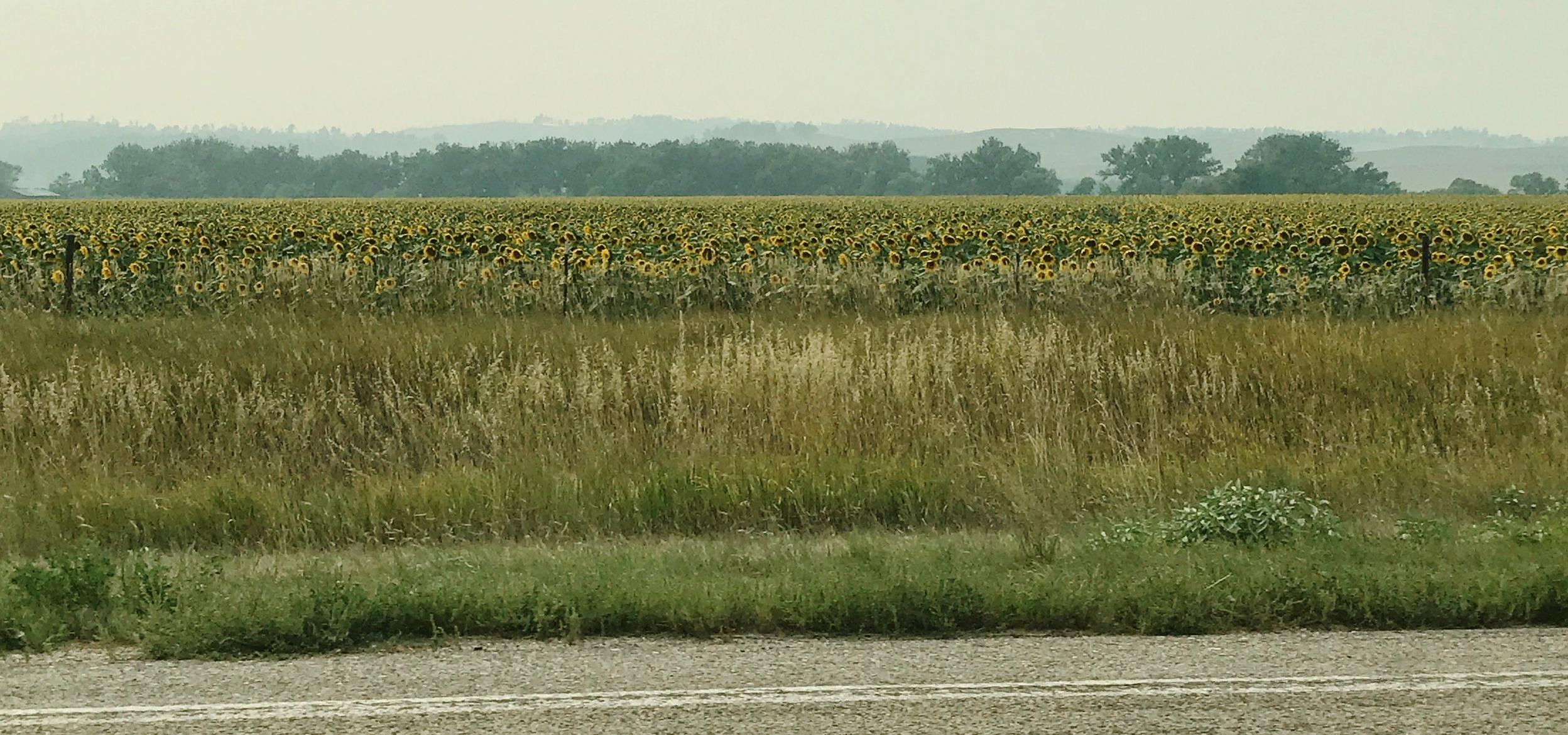 Roadside sunflower field in Nebraska, under a smokey haze.