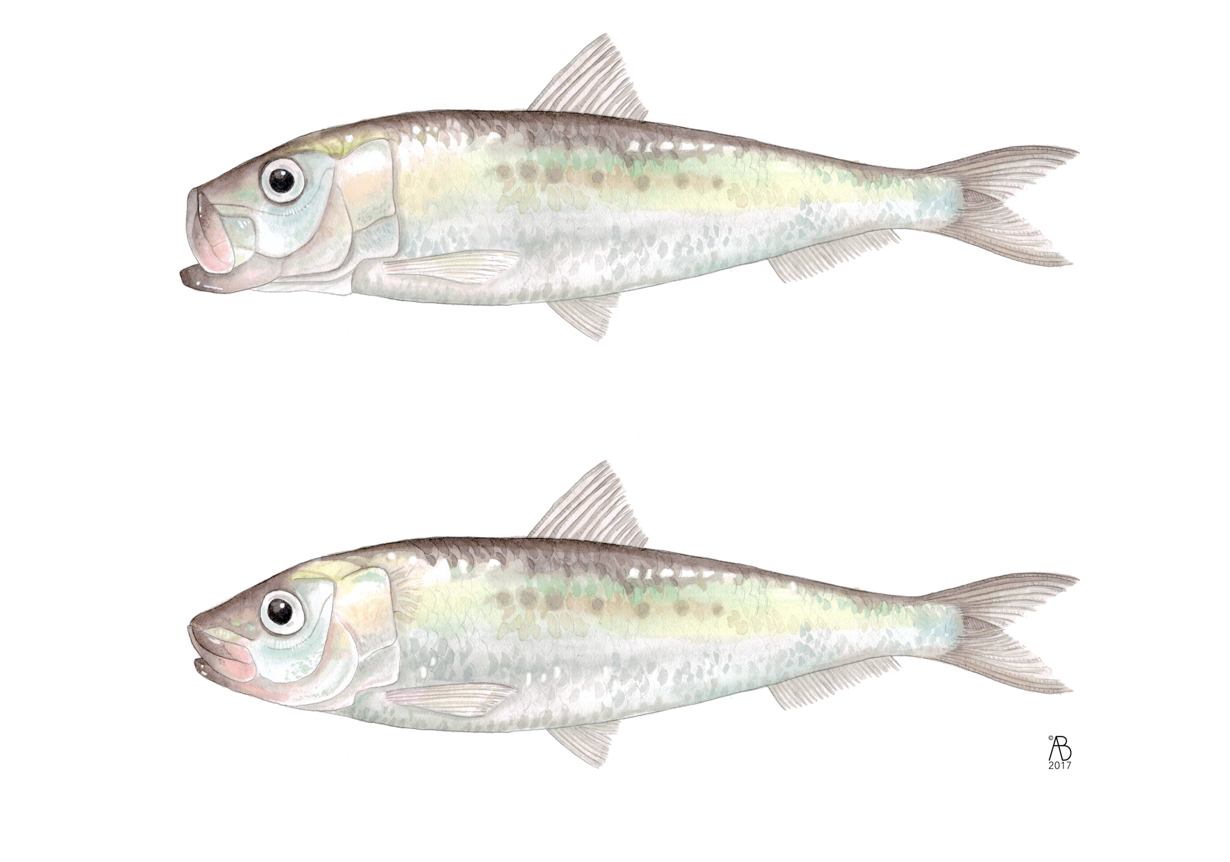 Sardine_Lateral.png