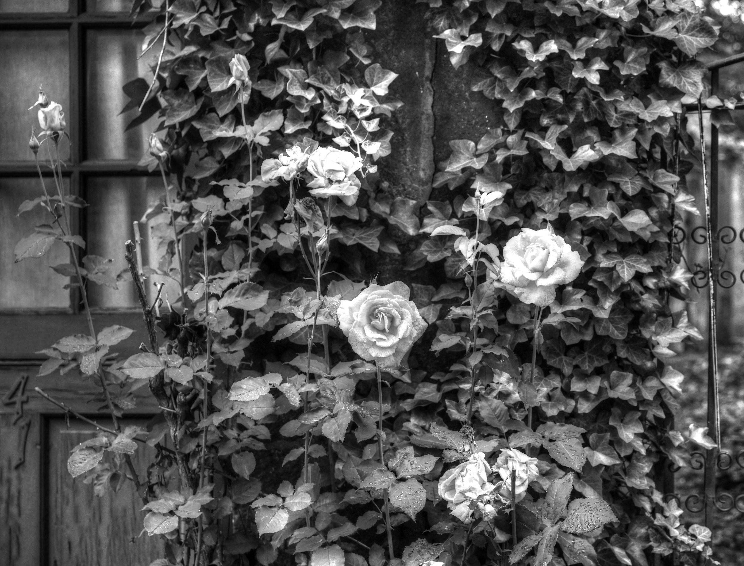 Bob Silverstein Roses.jpg