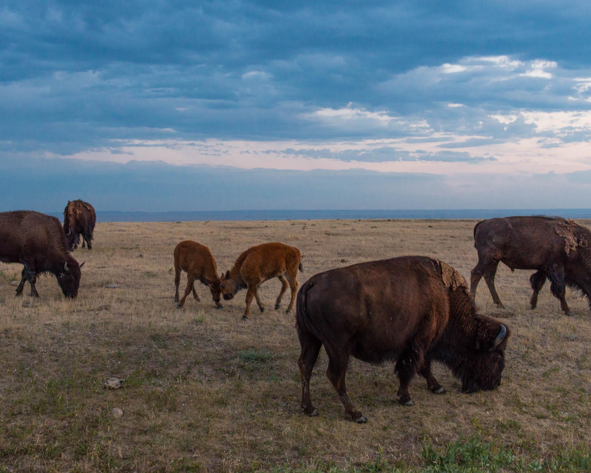 Bison calves horsing around!