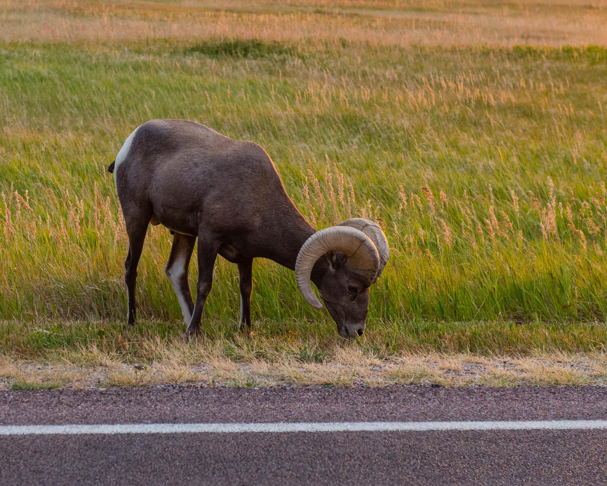 Big-horned sheep!