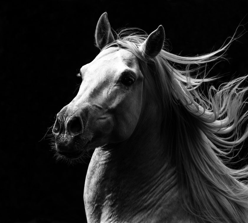 """White Stallion's Pride,"" a photo by Longmont's Carol Walker, has also earned a spot at Frontier Days in Cheyenne."