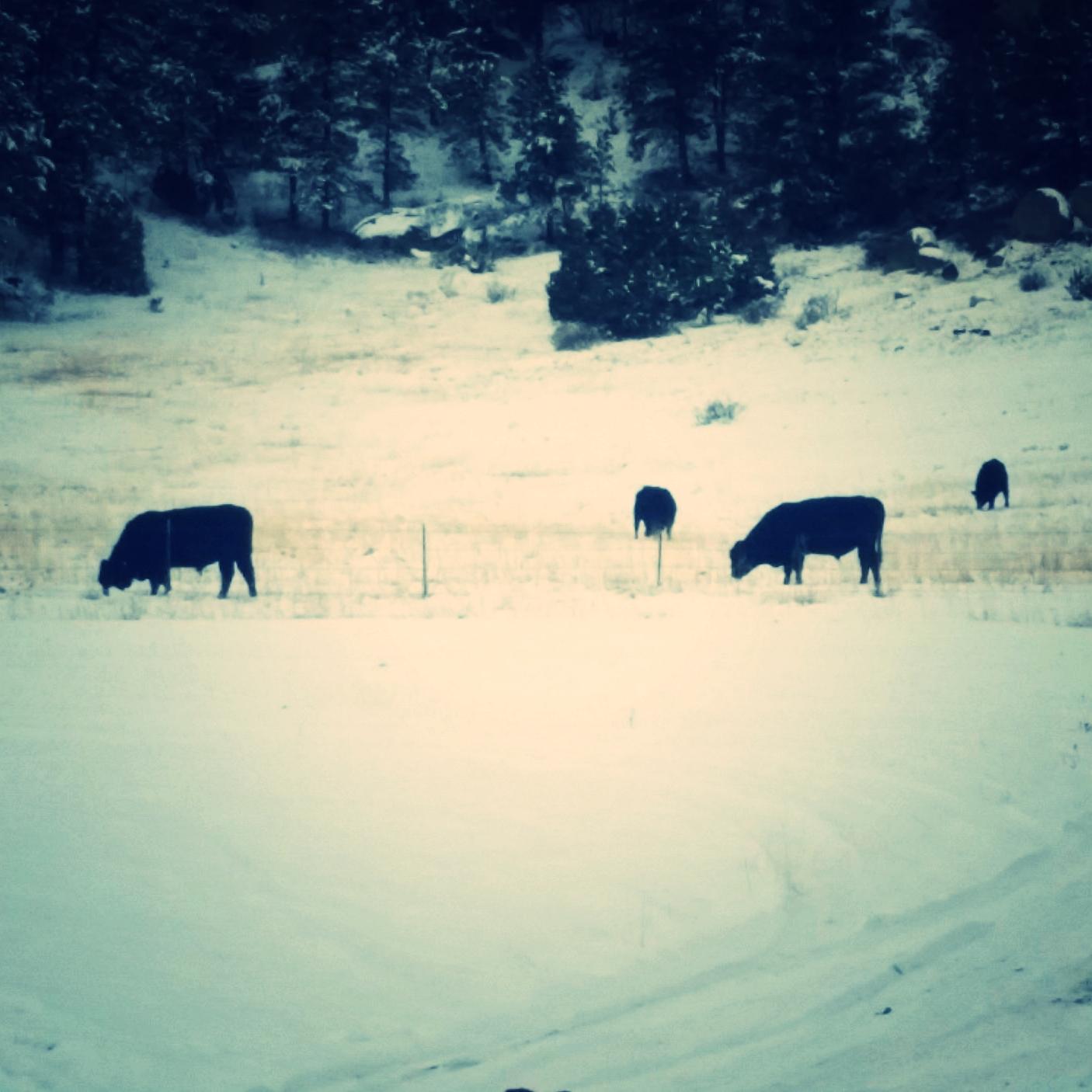 Susan's Bulls