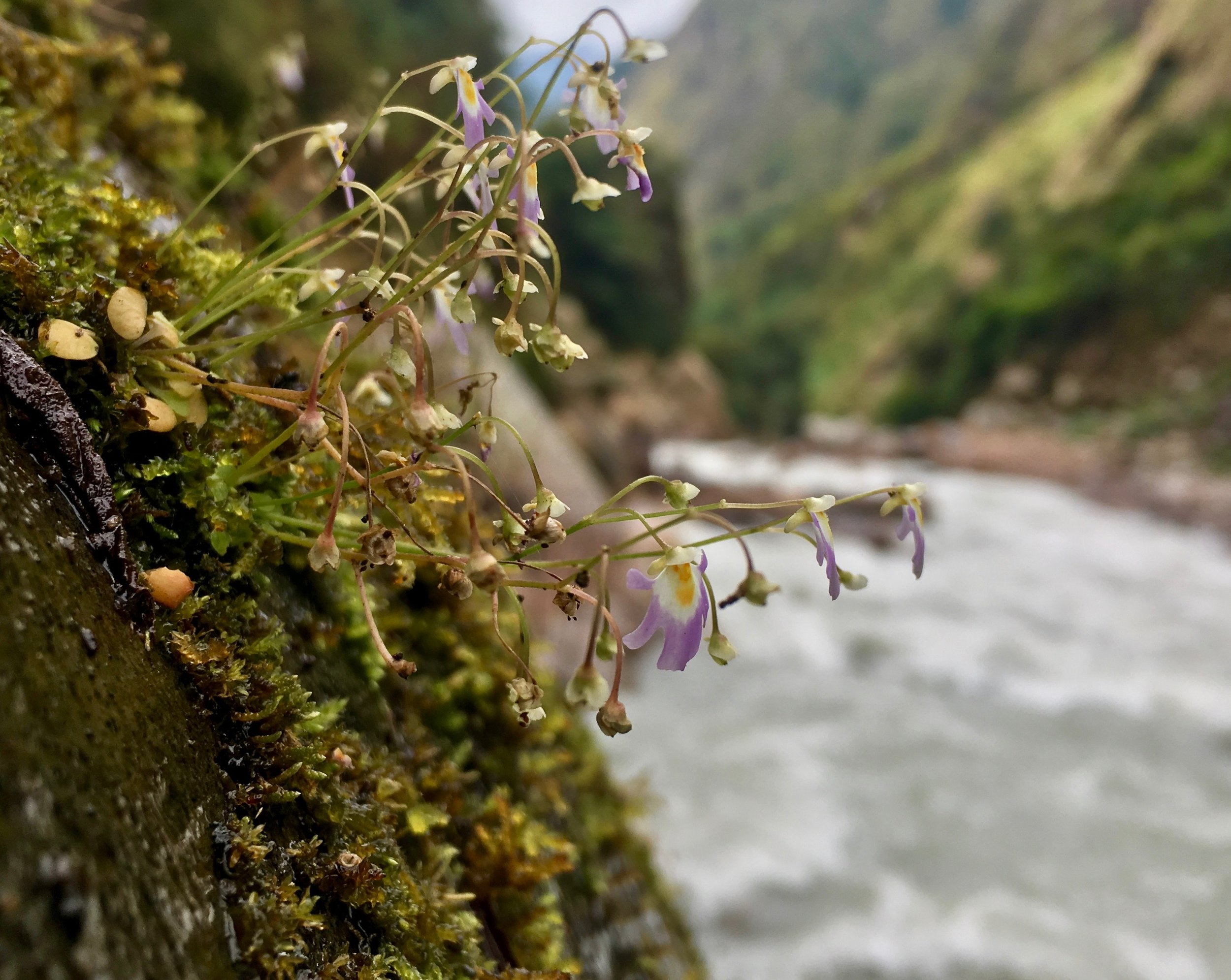 Plants cling to the gorge walls too – here is a  Utricularia  species,which is used to treat wounds.