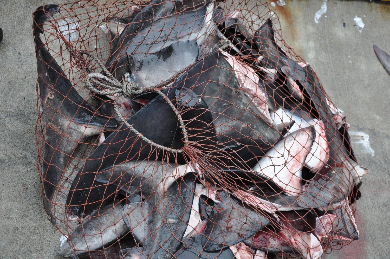A bag of freshly cut shark fins. ©PangeaSeed