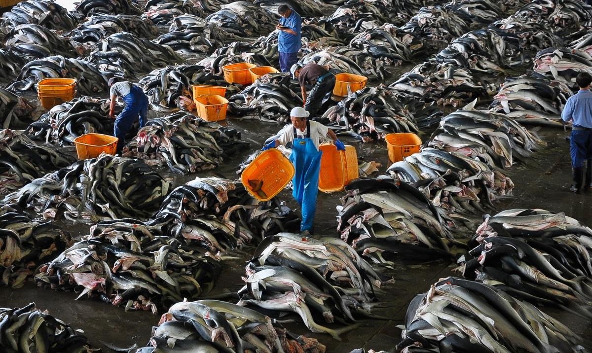 Hundreds of thousands of dead sharks, freshly finned, in Japan.©PangeaSeed