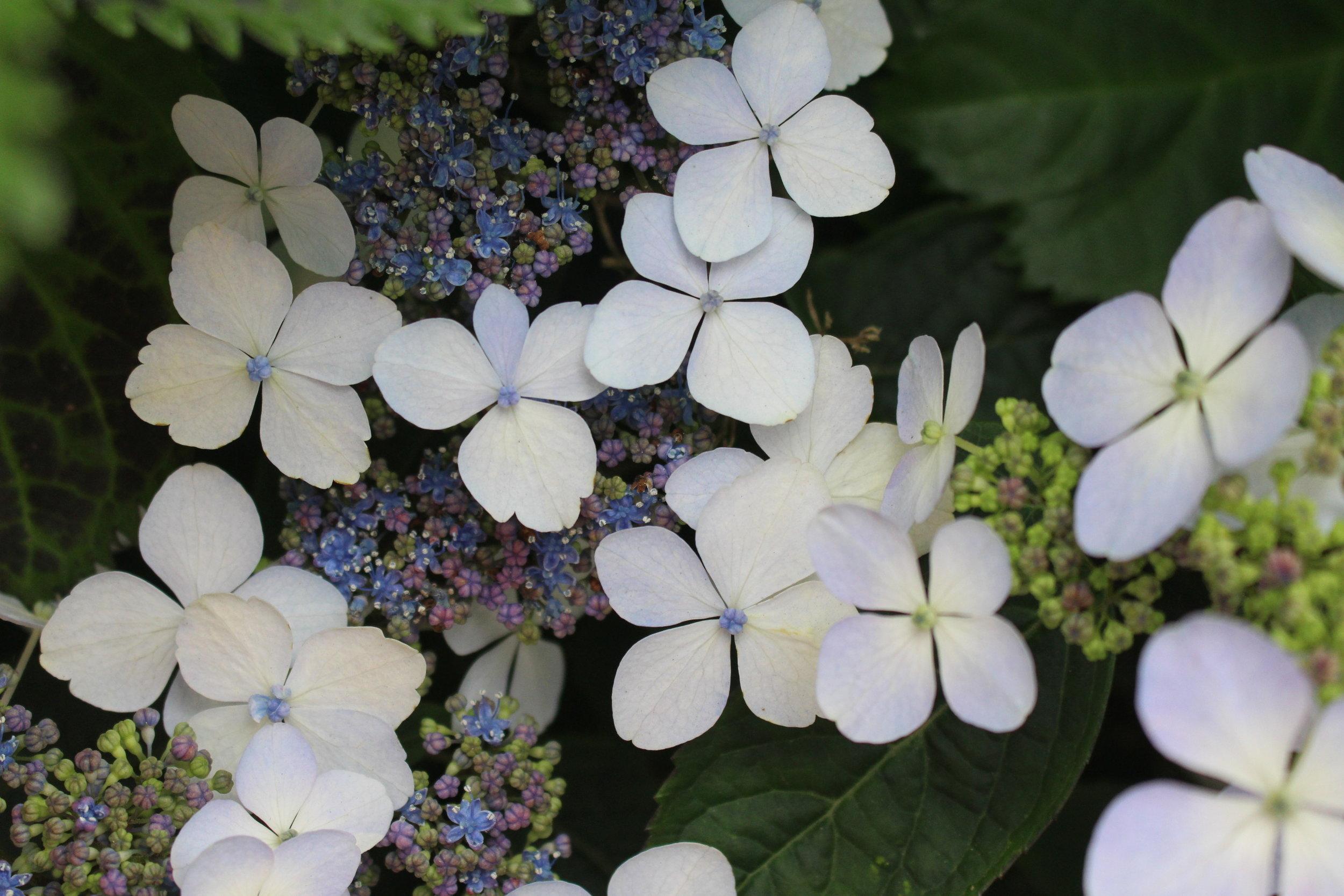 #74 Hydrangea, Hydrangea macrophylla