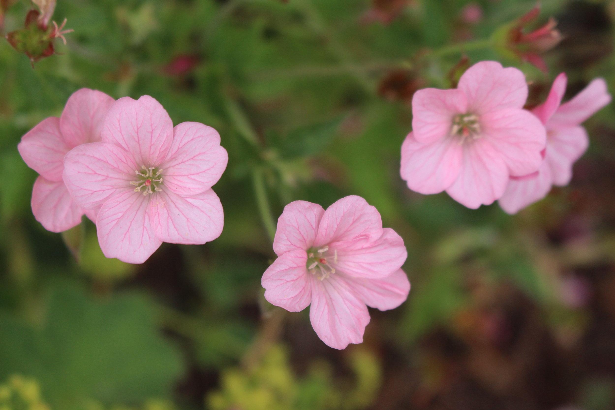 #76 Wax Flower, Chamelaucium