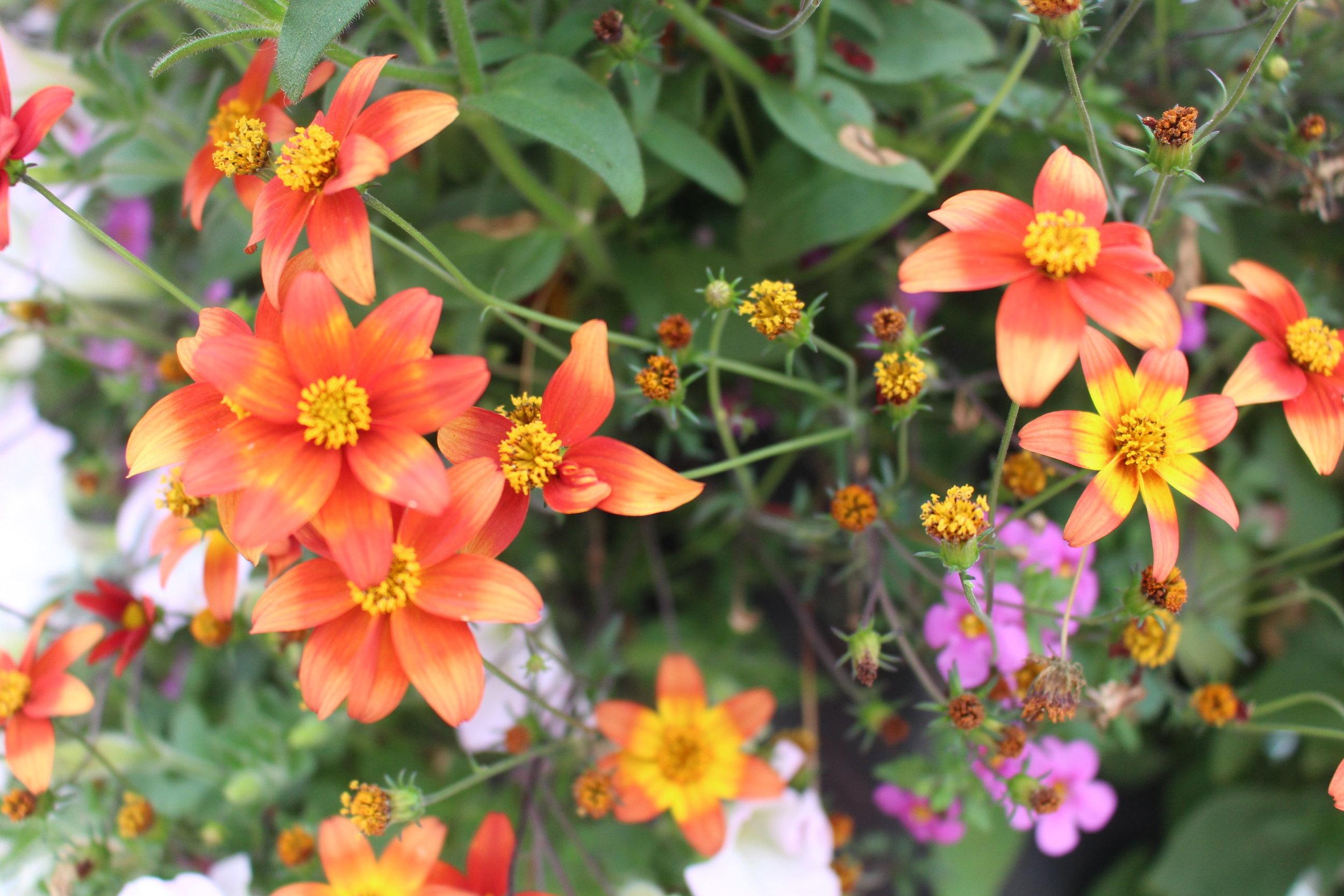 #79 Campfire Fireburst Biden, Asteraceae