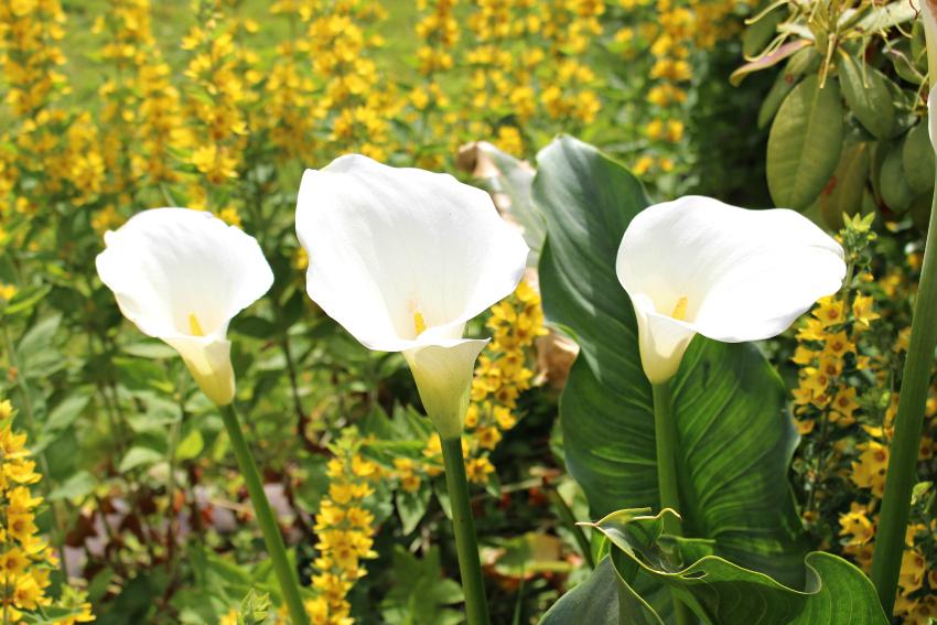 #83 Calla Lily, Zantedeschia aethiopica