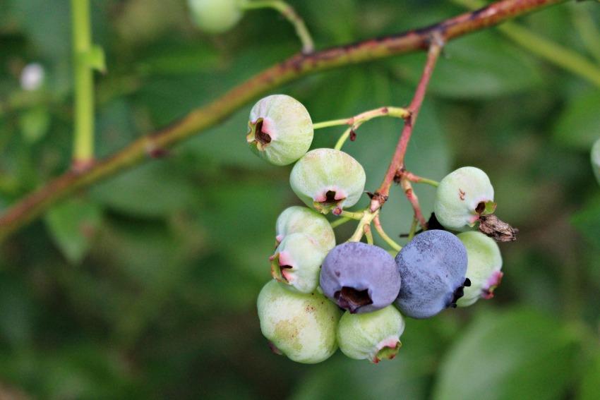 #25 Blueberries, Cyanococcus