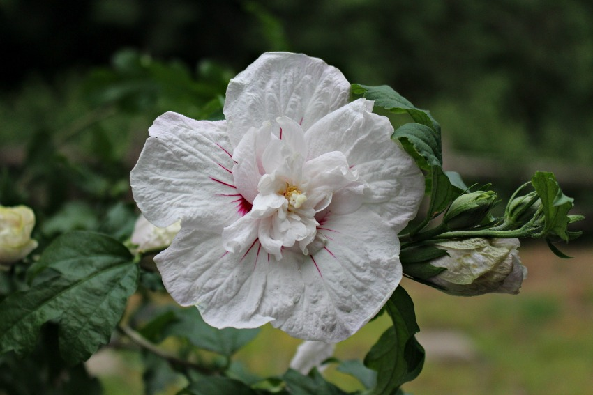 #26 White Hibiscus, Hibiscus syriacus