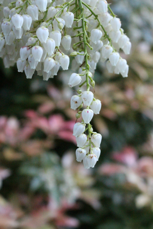 #33 Lily of The Valley Bush,  Pieris japonica
