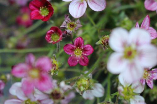 #28 Wax Flower, Chamelaucium