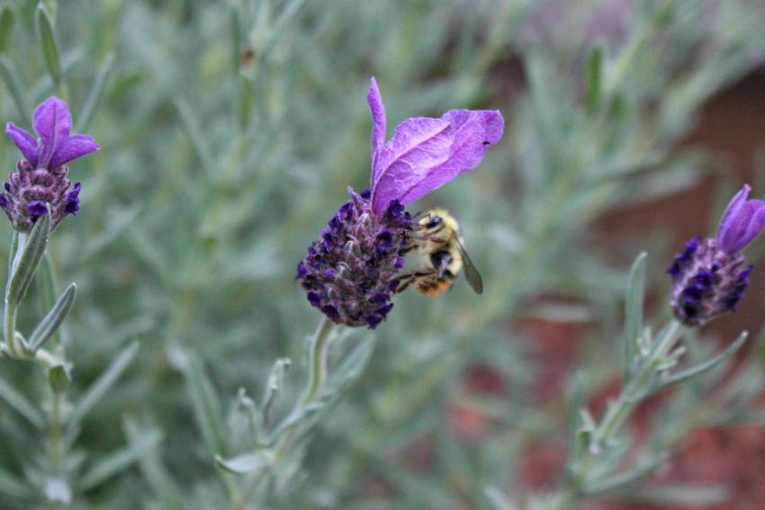 #45 Lavender, Lavandula