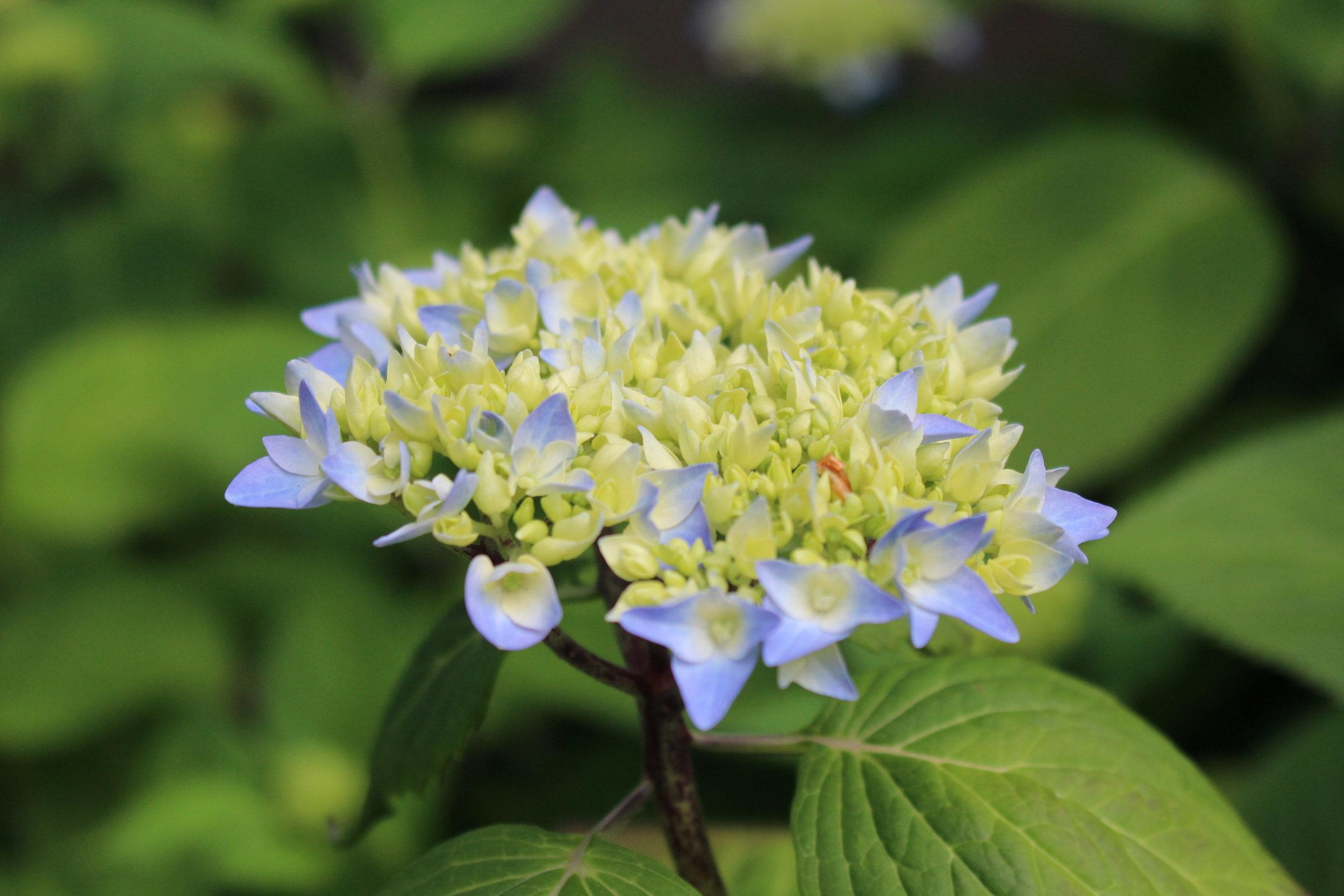 #46 Hydrangea, Hydrangea macrophylla