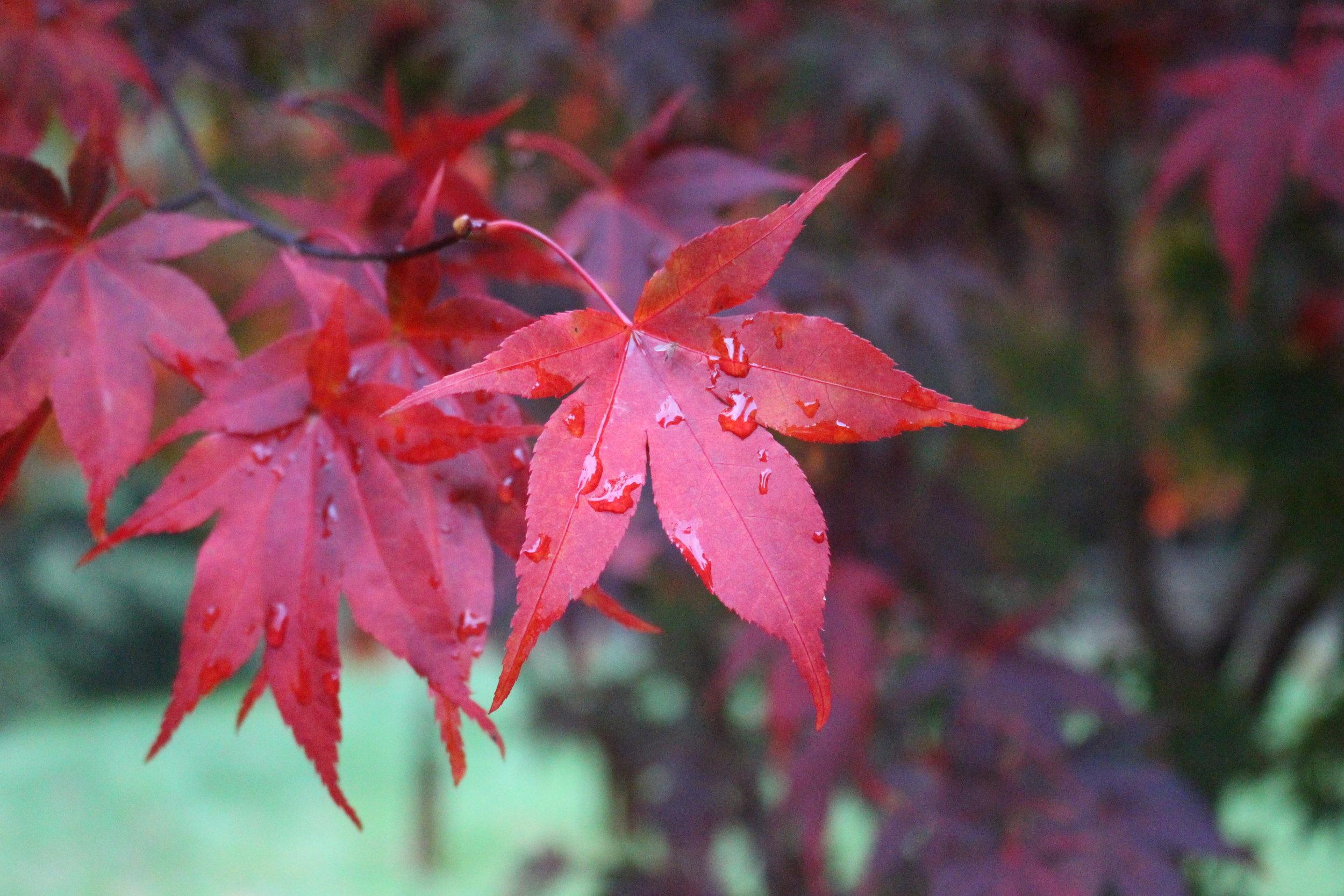 #48 Japanese Maple, Acer palmatum