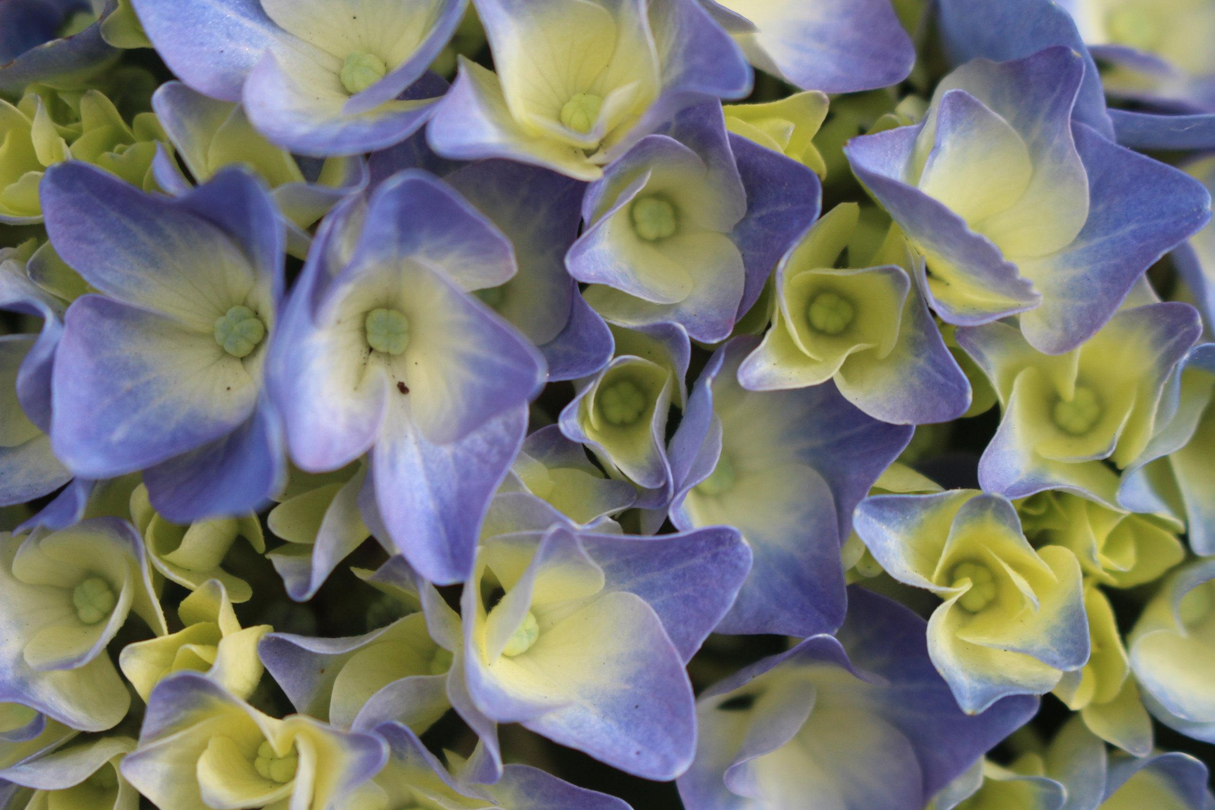 #64 Hydrangea, Hydrangea macrophylla