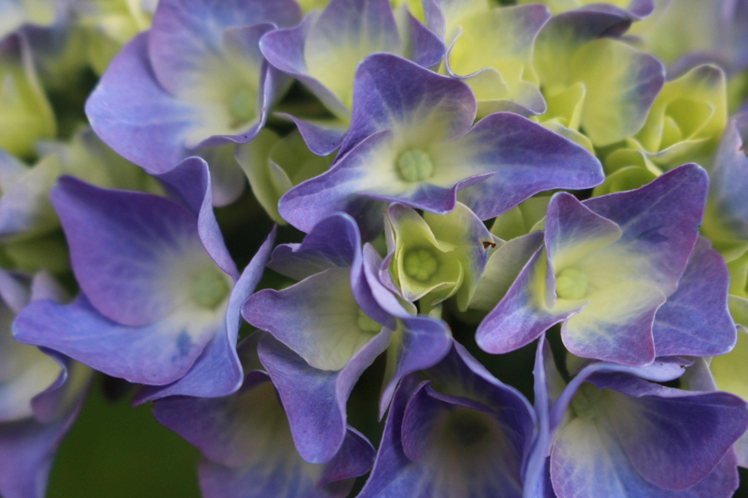 #65 Hydrangea, Hydrangea macrophylla