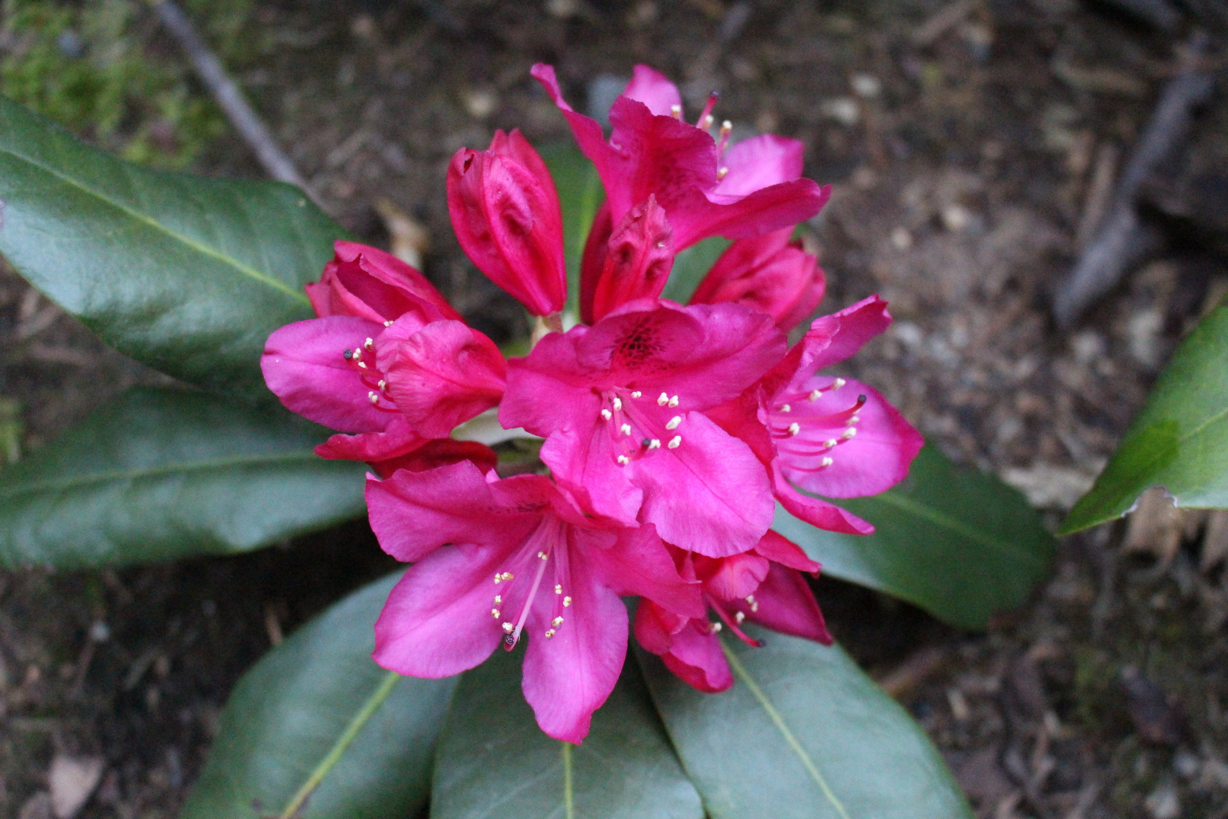 #70 Rhododendron,  Rhododendron
