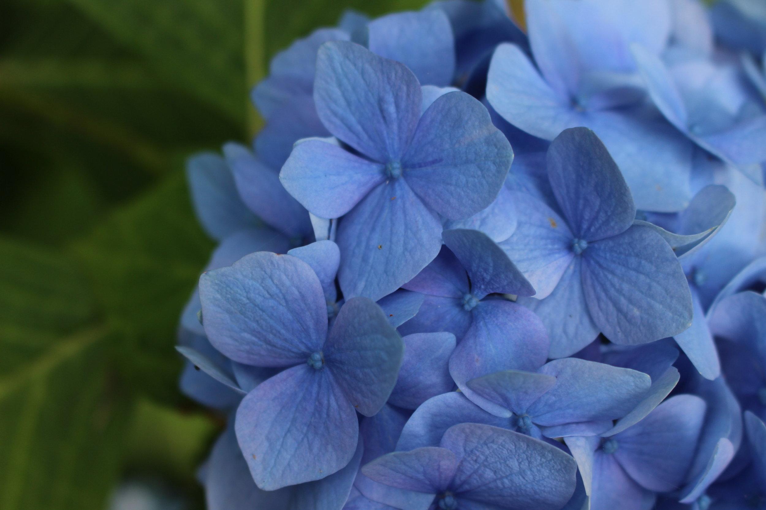 #72 Hydrangea, Hydrangea macrophylla