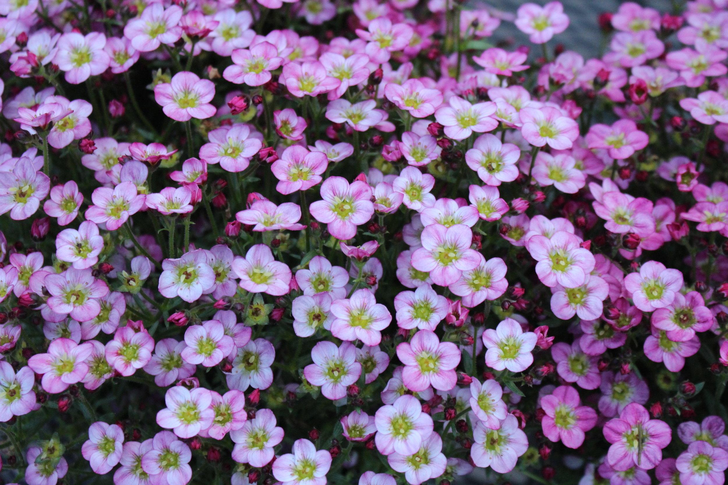 #49 Wax Flower, Chamelaucium