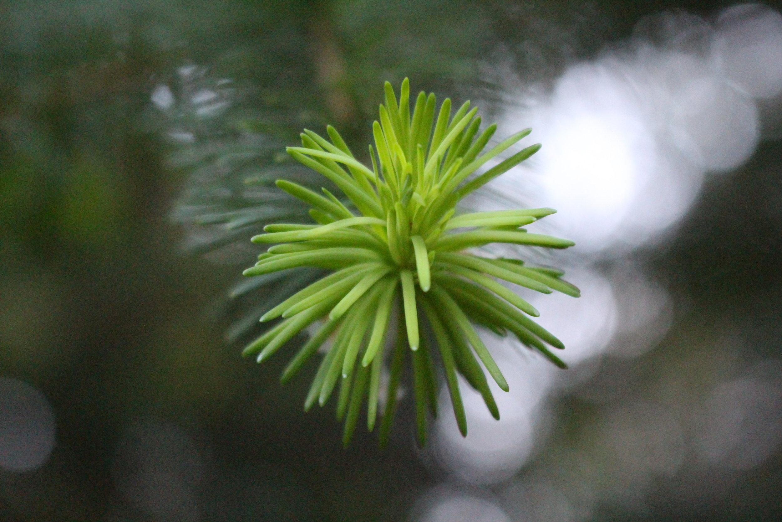 #59 Pine Tree, Pinus