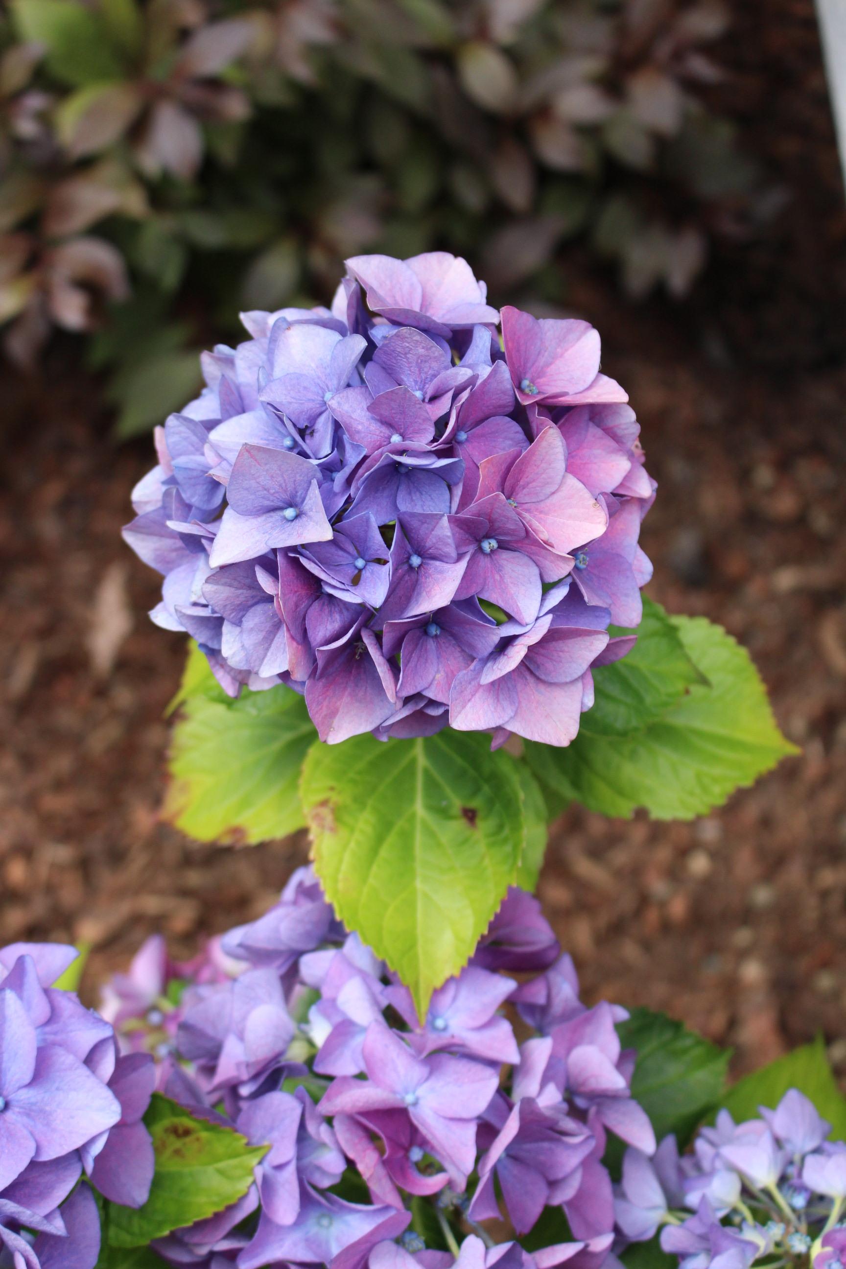 #17 Hydrangea, Hydrangea macrophylla