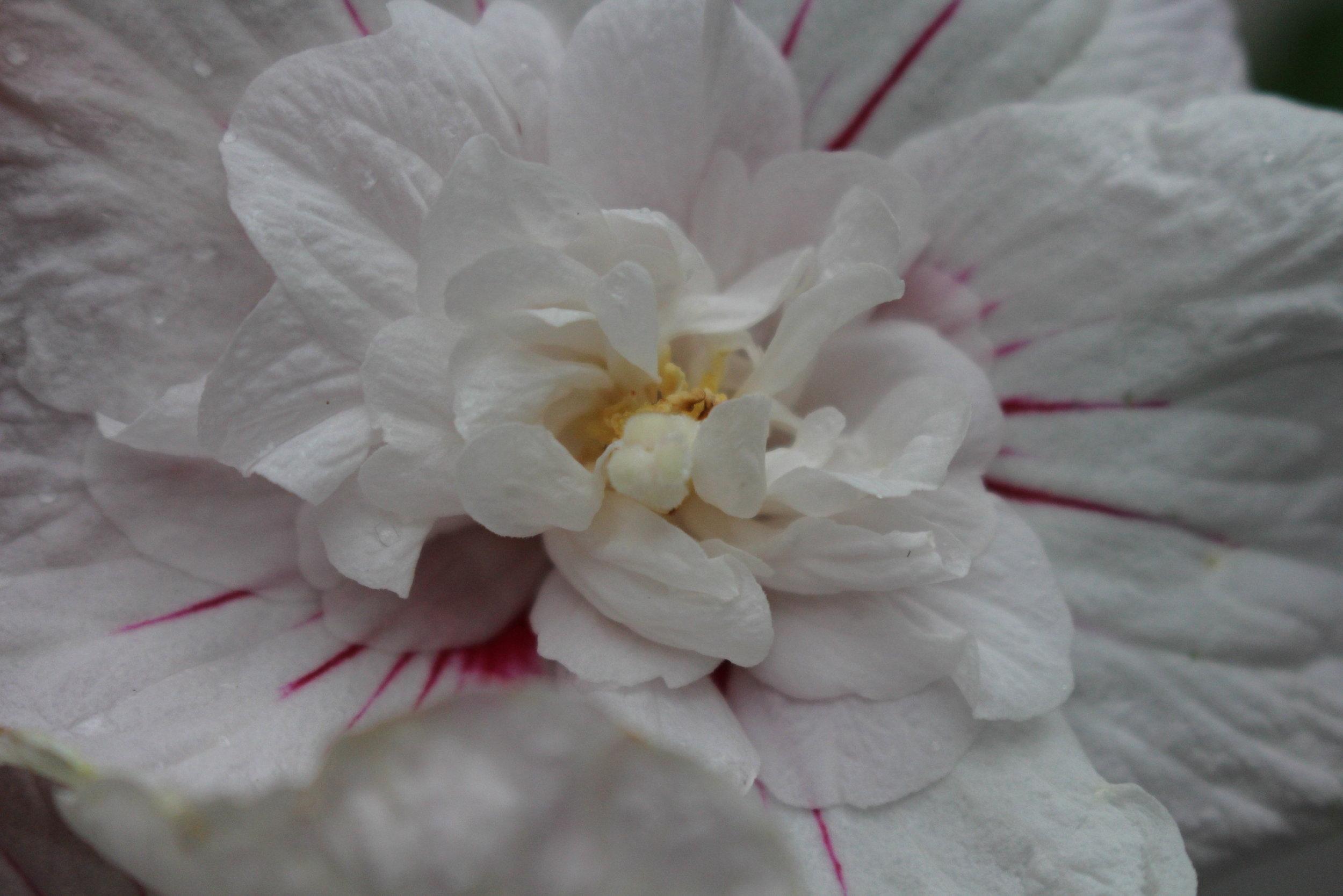 #18 White Hibiscus, Hibiscus syriacus