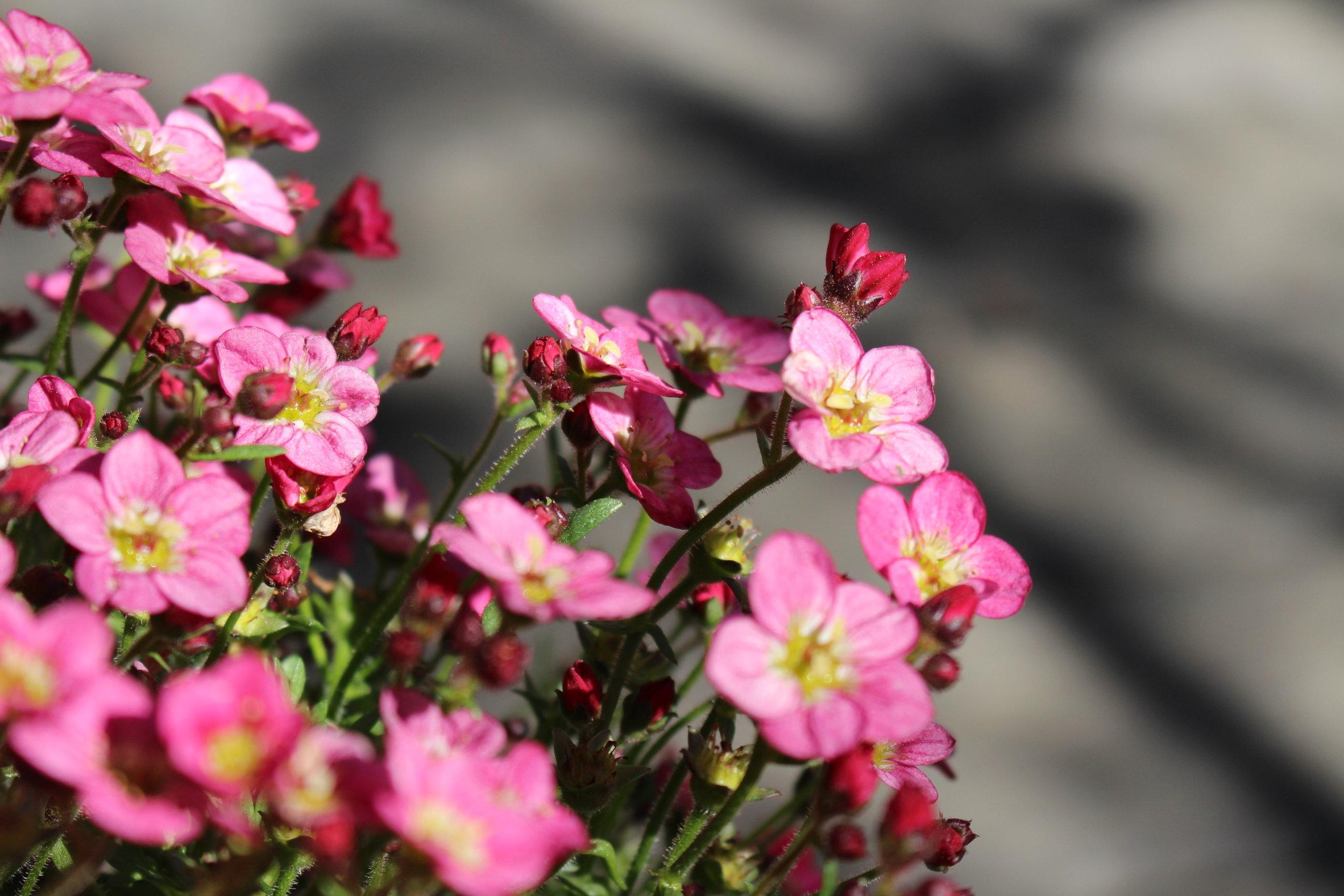#20 Wax Flower, Chamelaucium