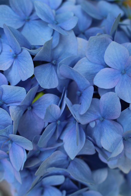#23 Hydrangea, Hydrangea macrophylla