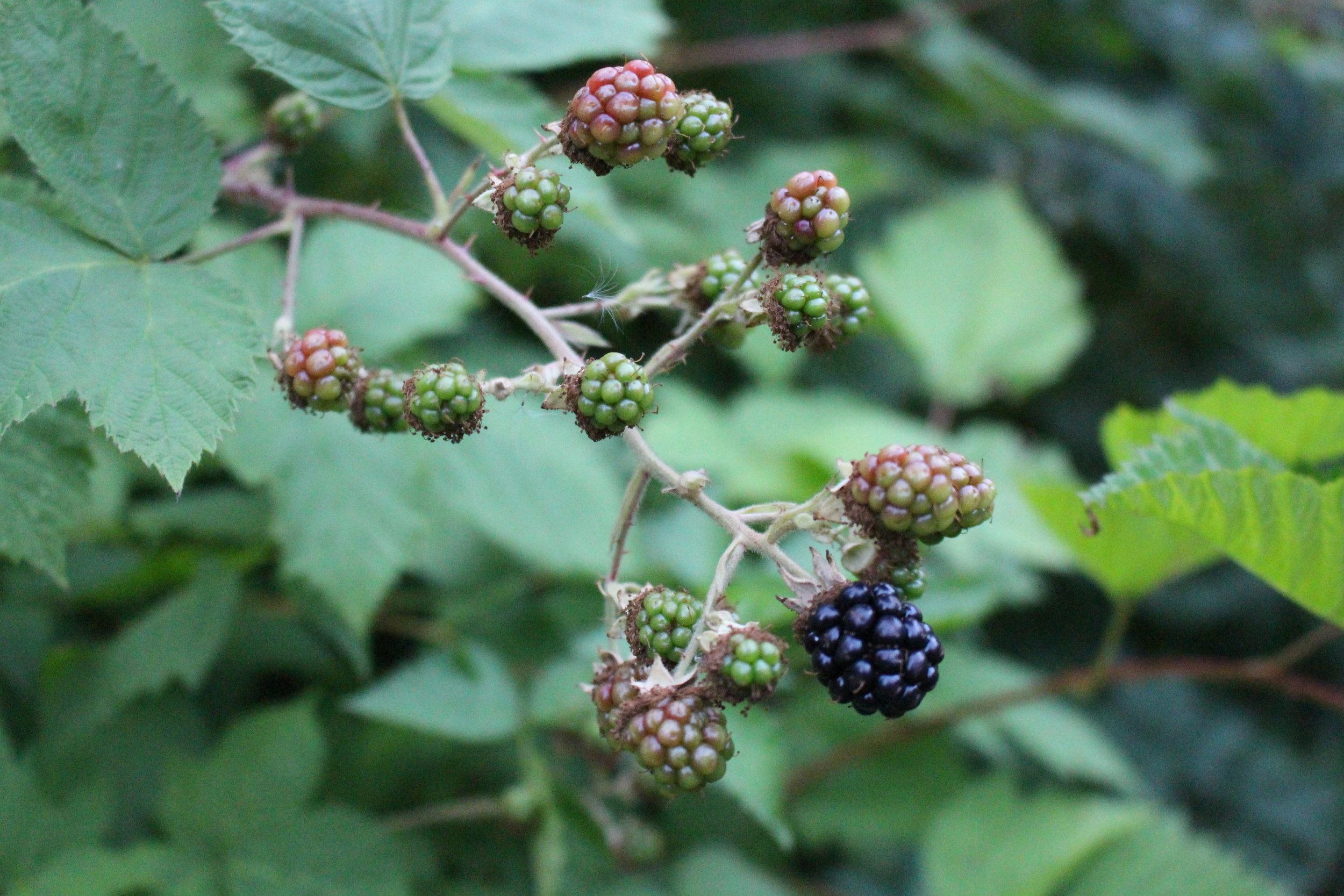 #11 Himalayan Blackberry, Rubus armeniacus
