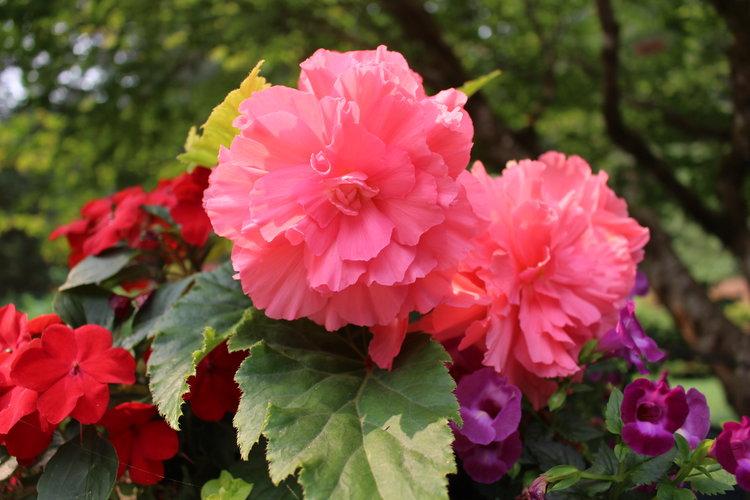#92 Tuberous Begonias,  Begonia Tuberhybrida
