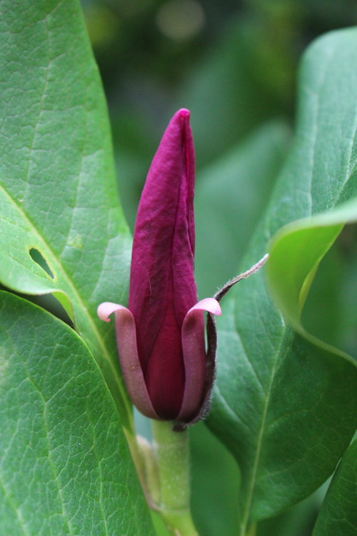 #95 Jane Magnolia,  Magnolia liliiflora