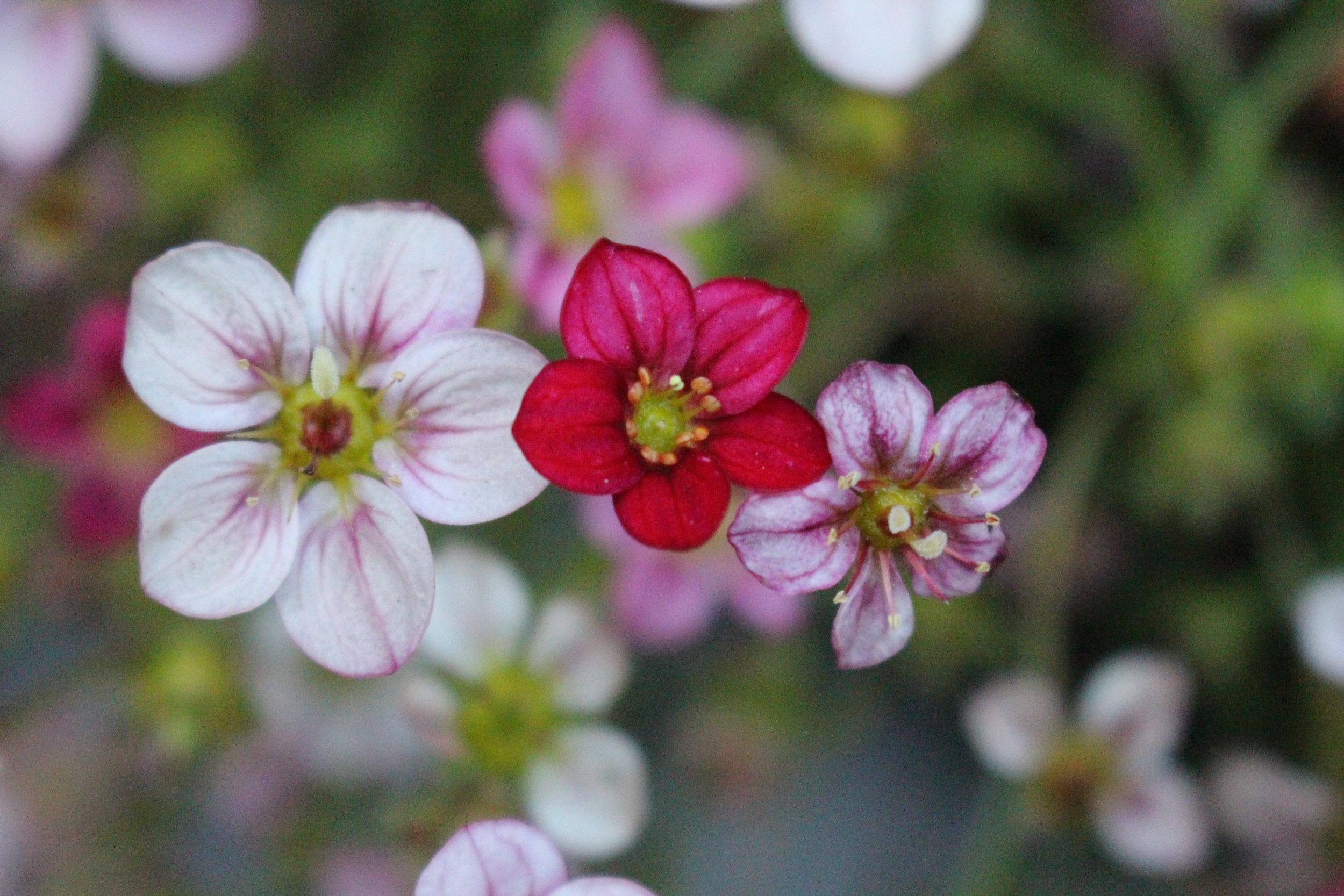 #99 Wax Flower, Chamelaucium