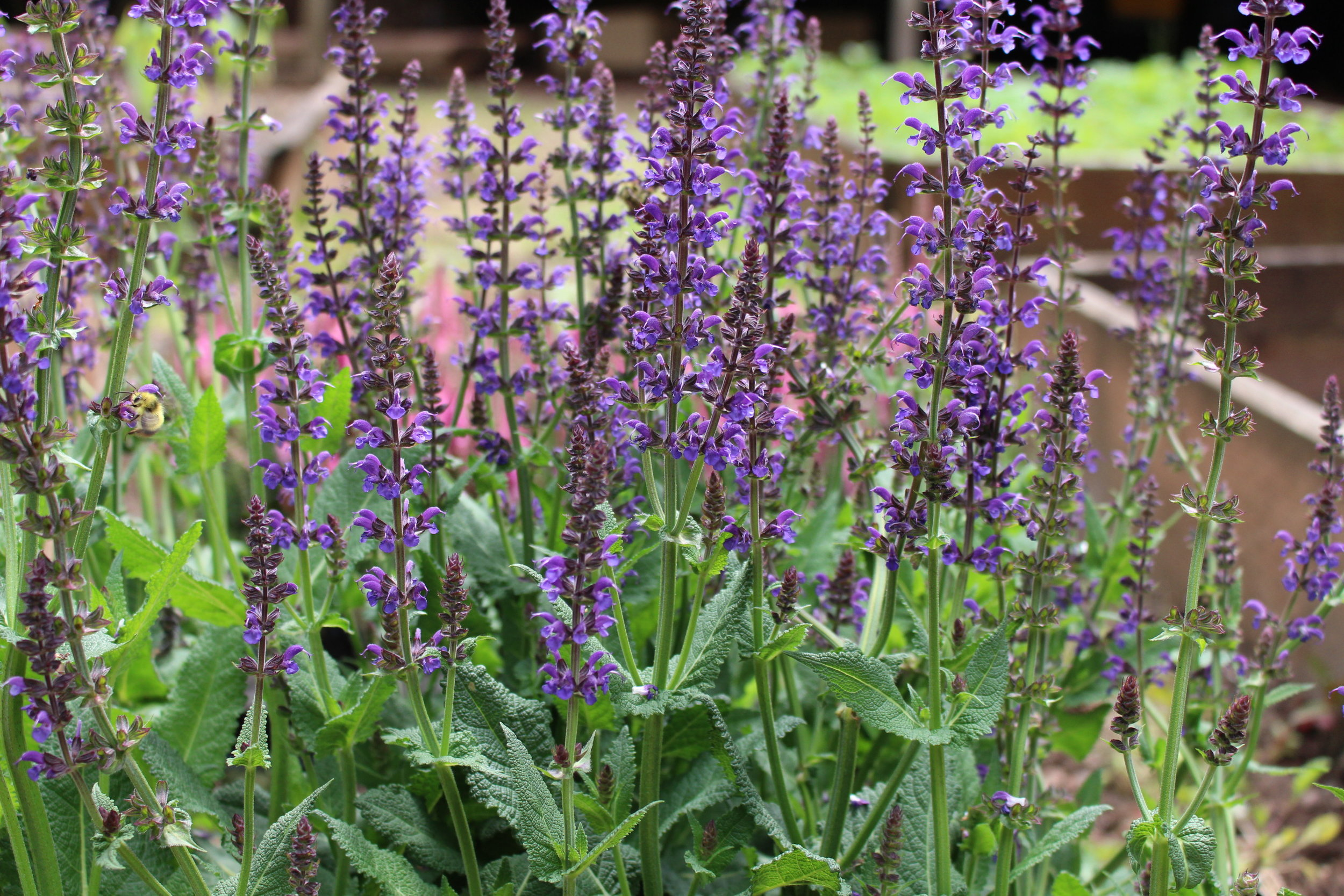 #100 Salvia,  Salvia x superba