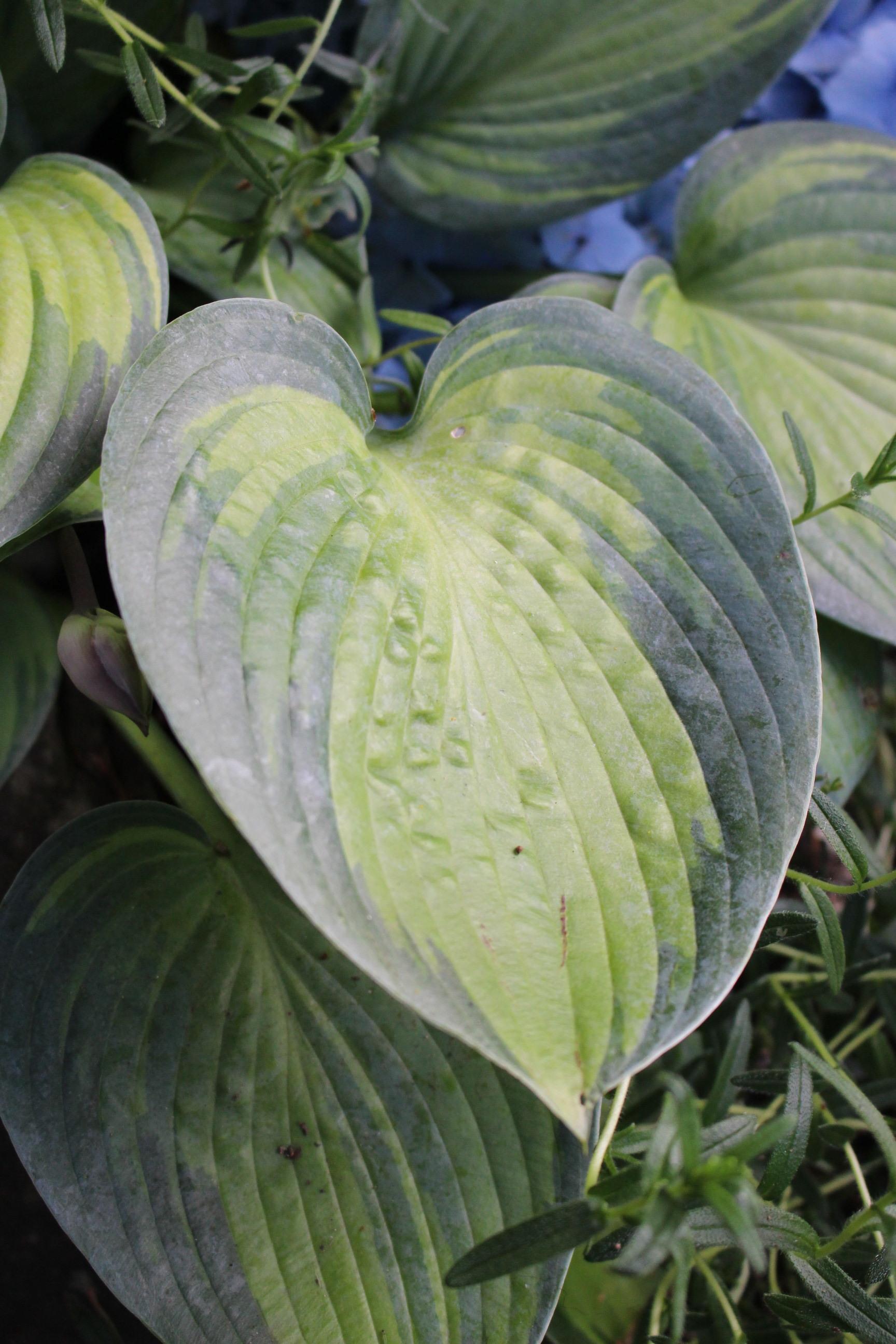 #102 Hosta Leaf,  Funkia