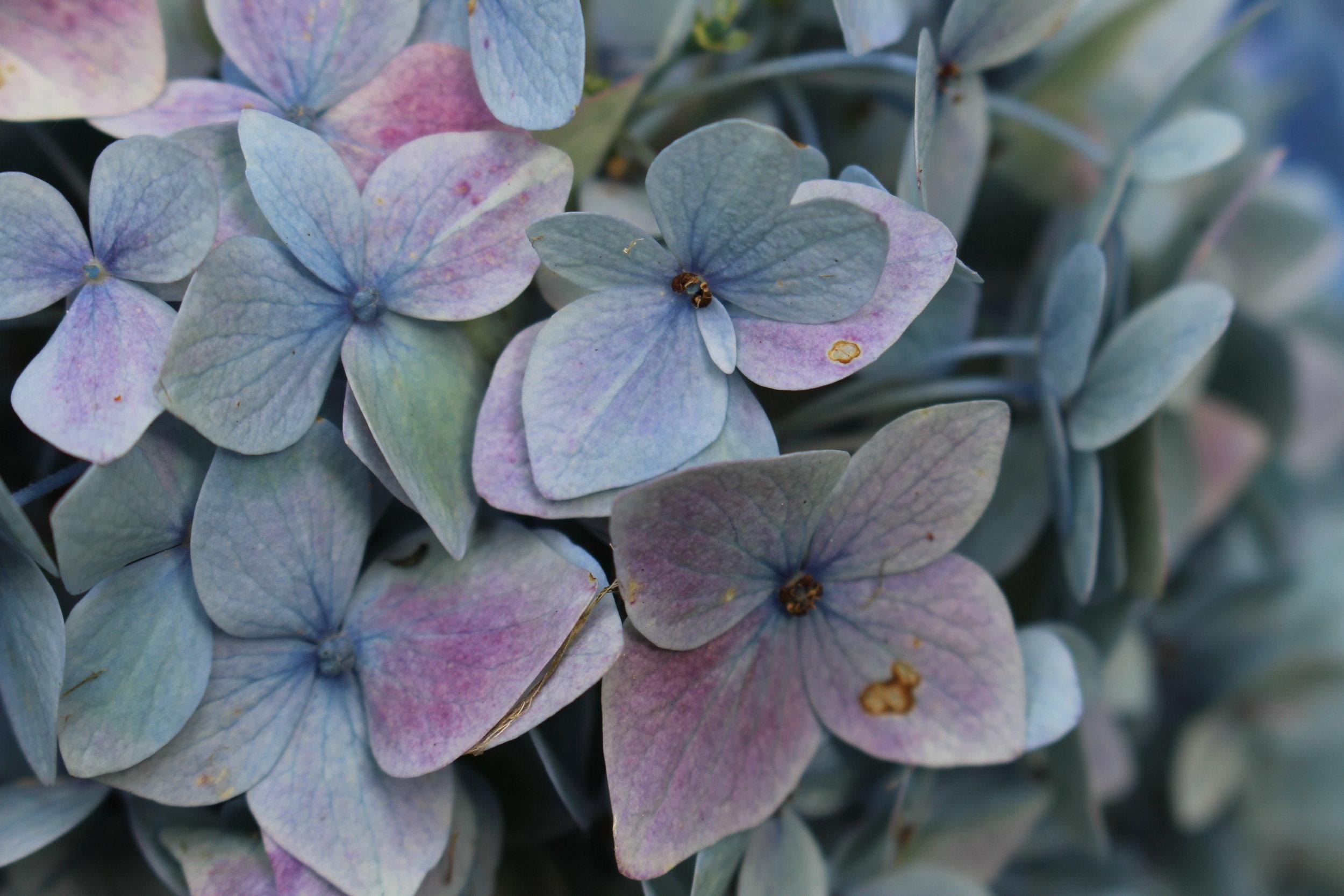 #104 Hydrangea, Hydrangea macrophylla