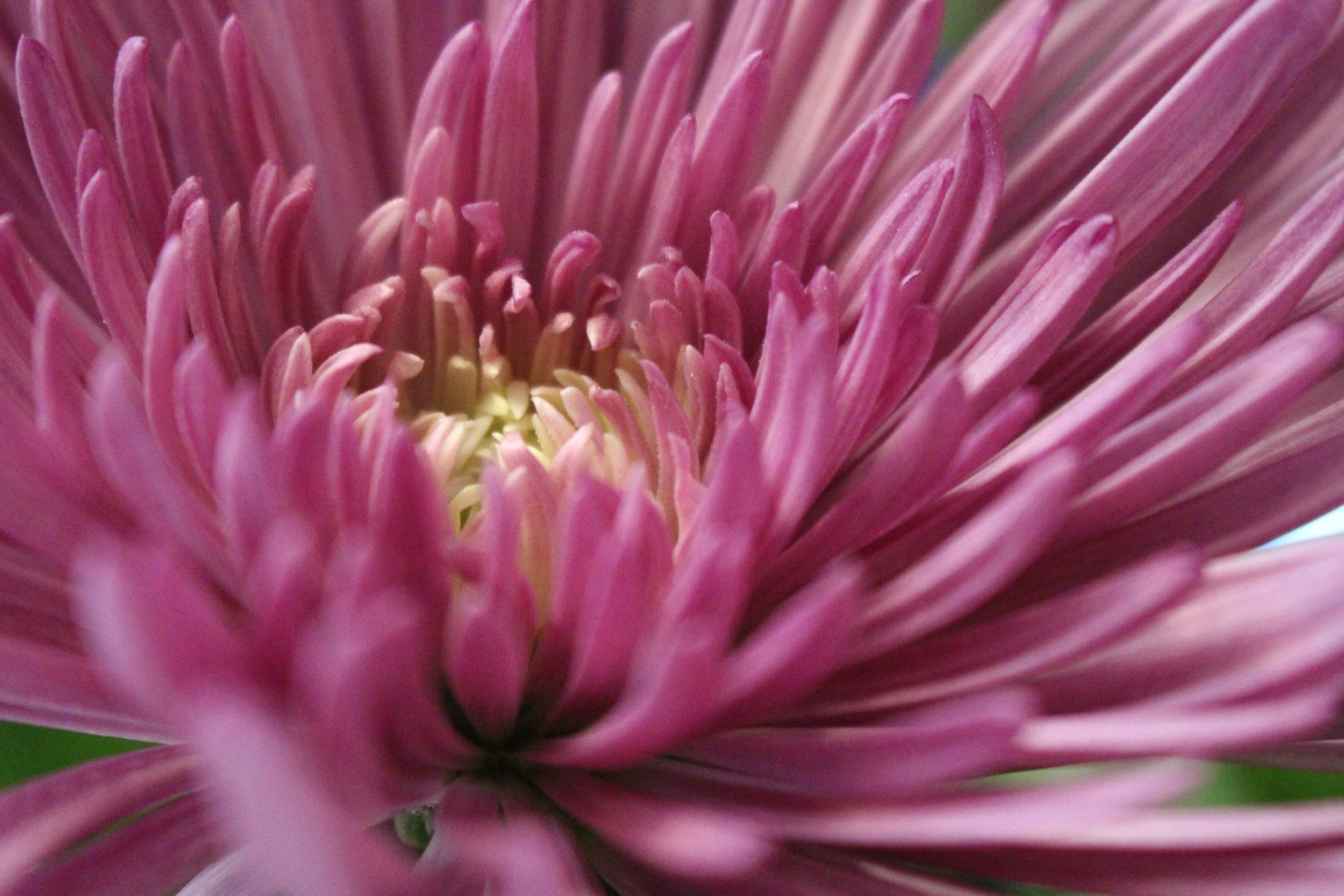 #108 Chrysanthemum,  Chrysanthemum  coronarium