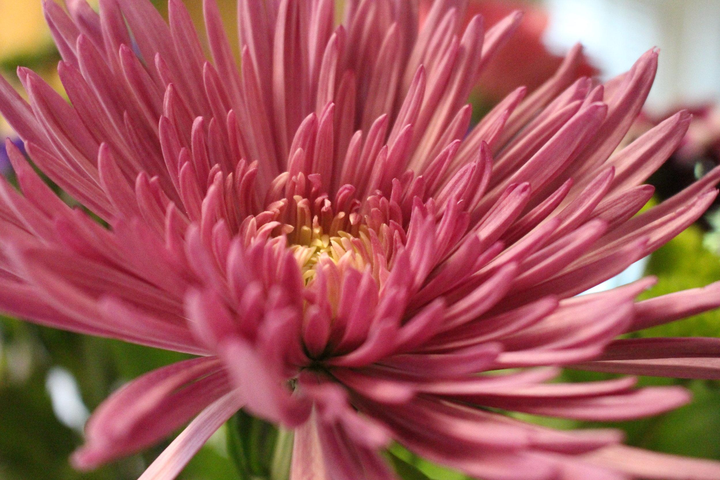 #114 Chrysanthemum,  Chrysanthemum  coronarium