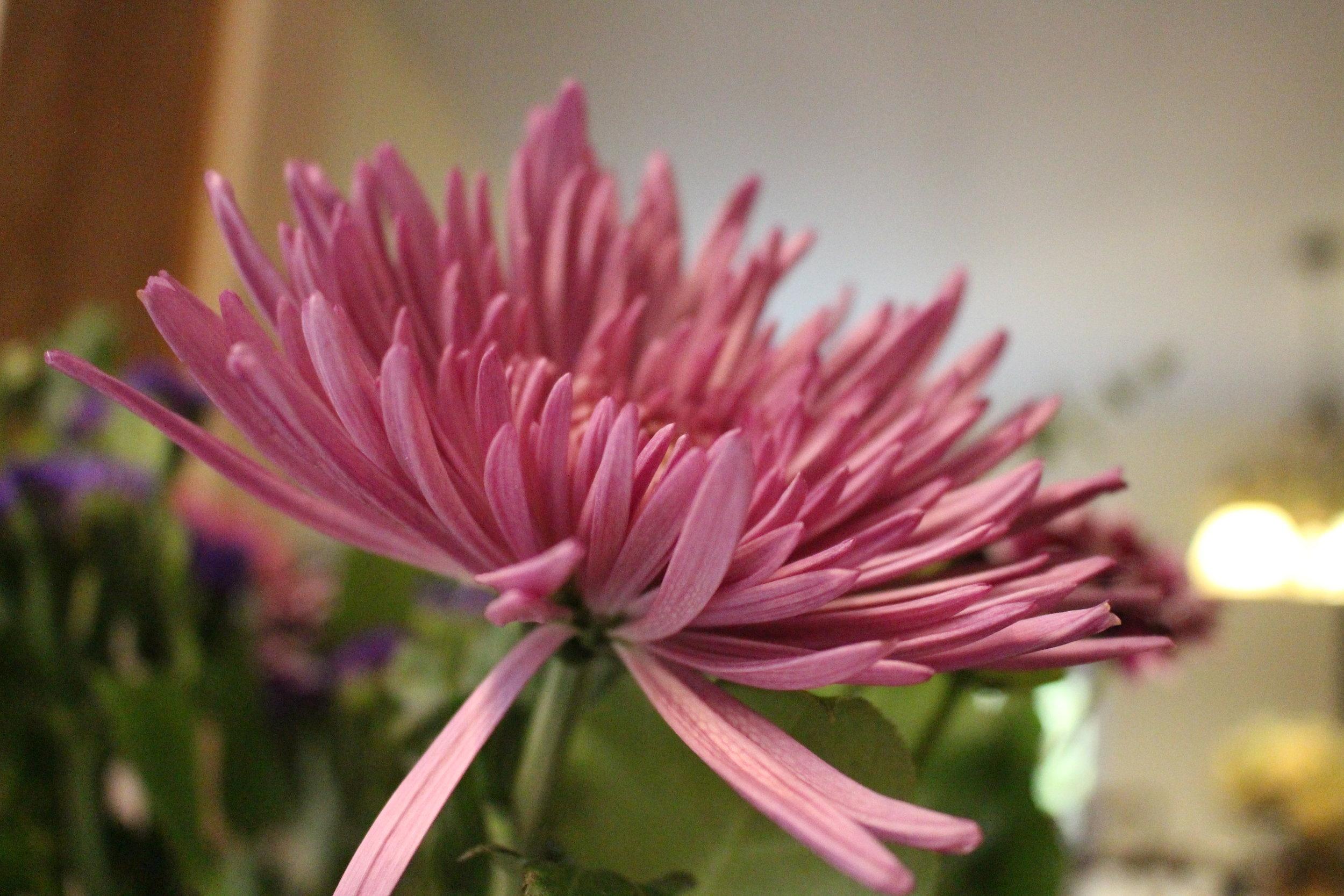 #117 Chrysanthemum,  Chrysanthemum  coronarium