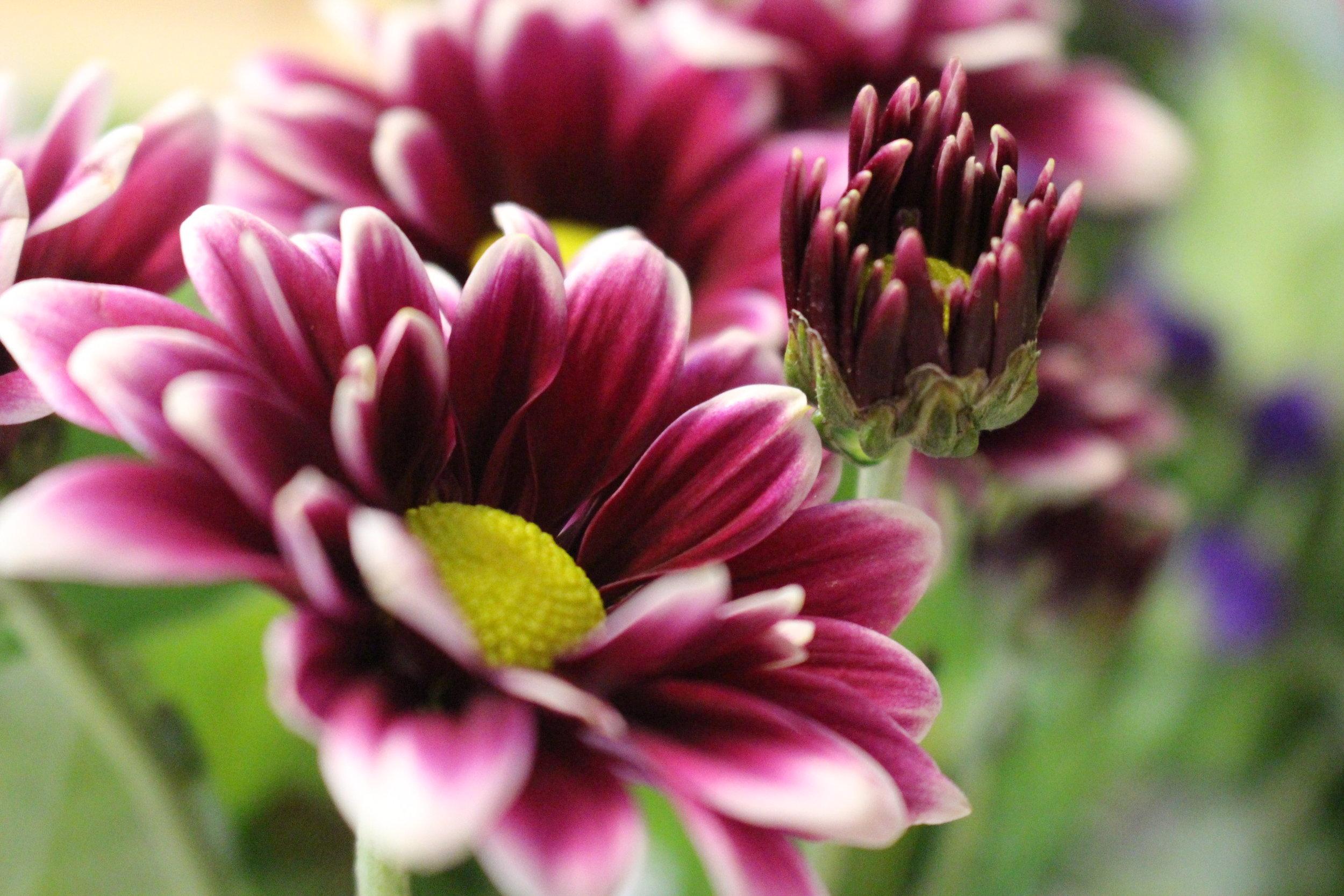 #109 Dahlia,  Asteraceae