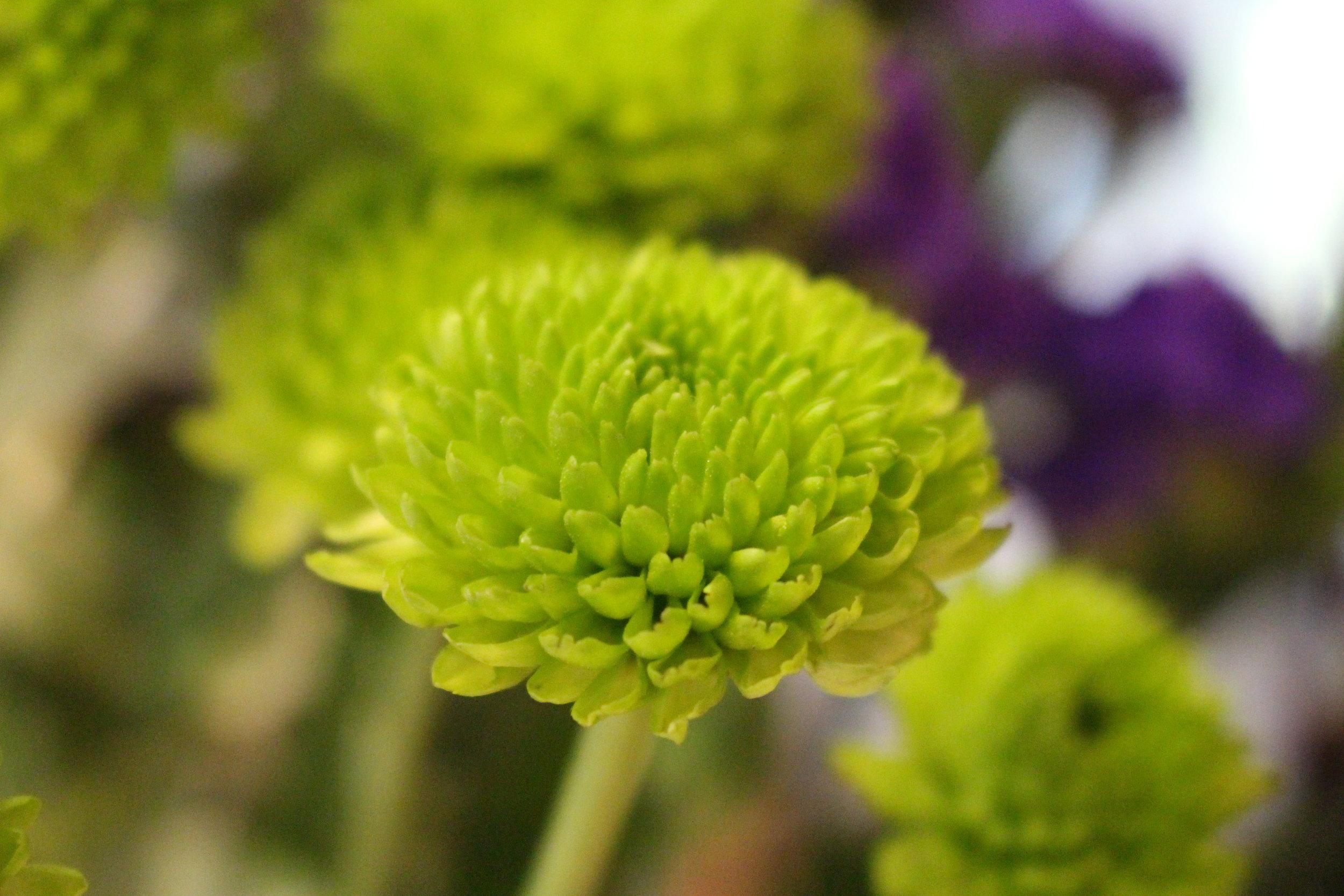 #110 Green Chrysanthemum,   Asteraceae