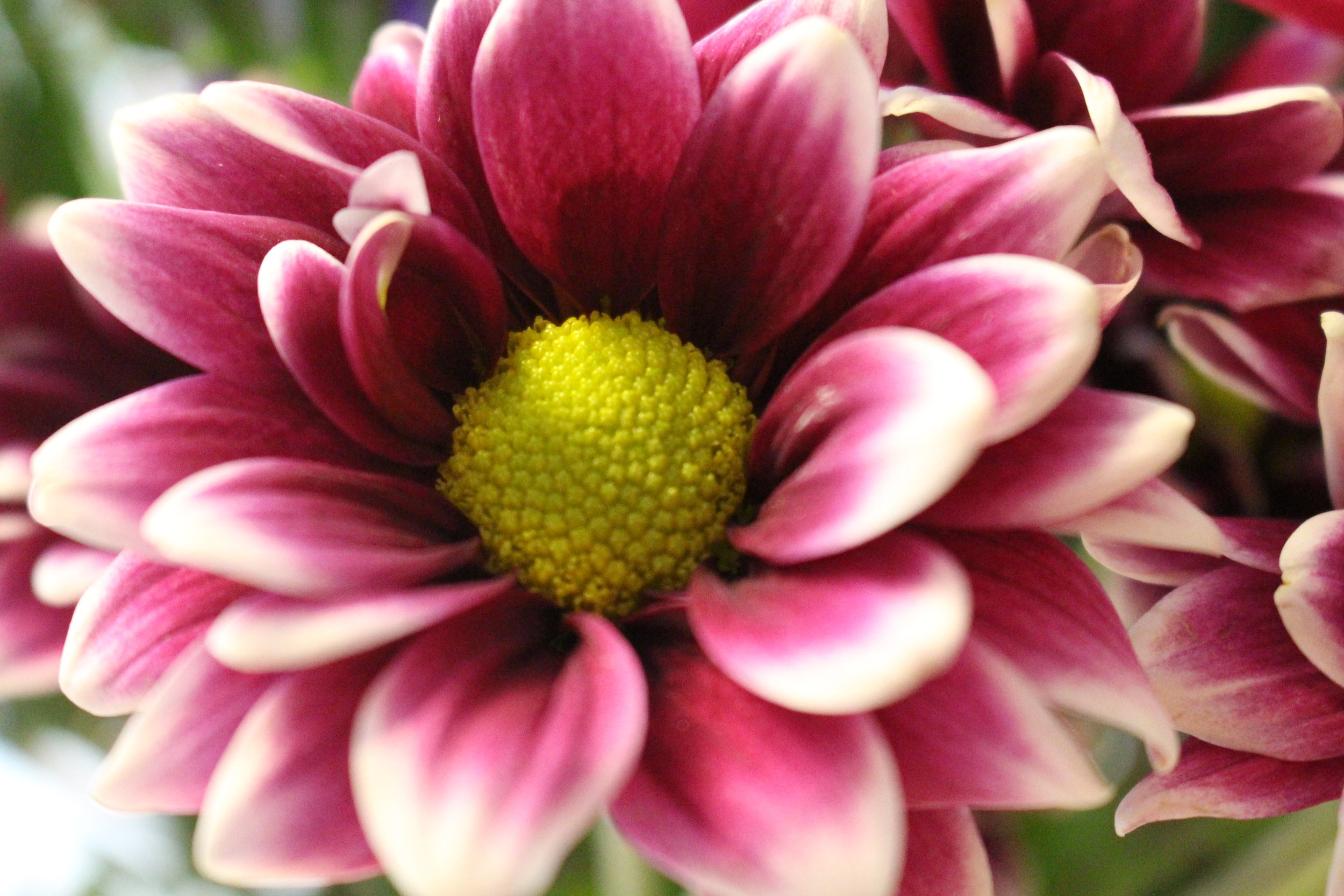 #111 Dahlia,  Asteraceae