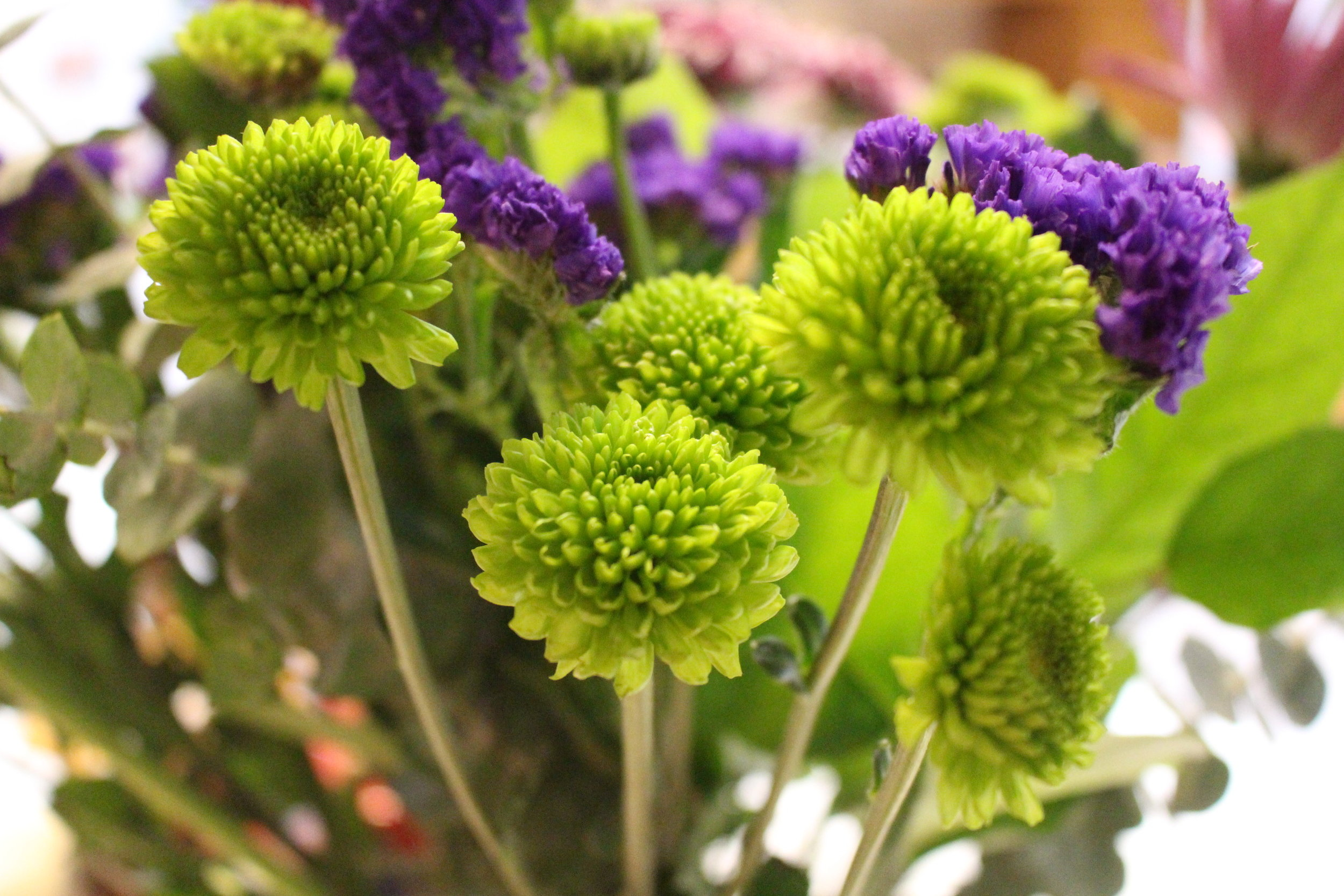 #115 Green Chrysanthemum,  Asteraceae