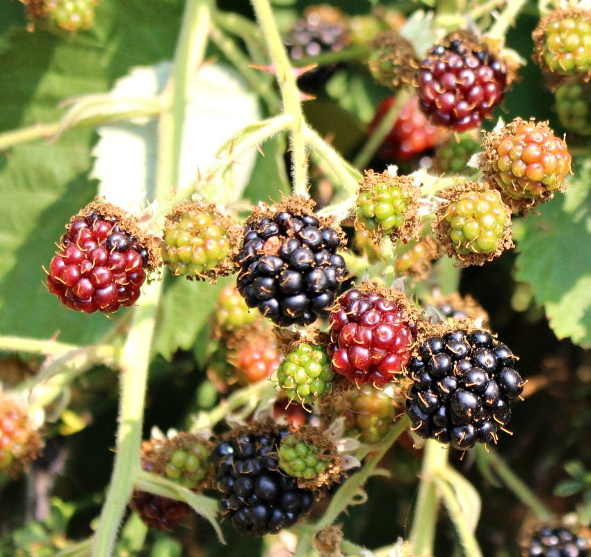 #119 Himalayan Blackberry,  Rubus armeniacus